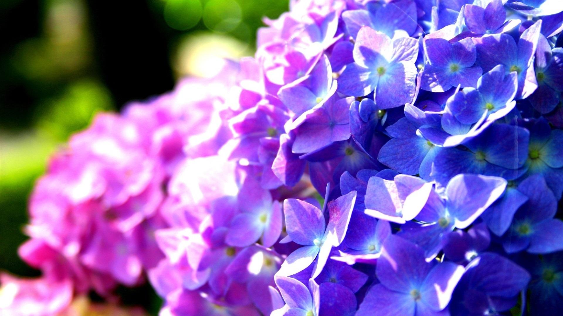 Wallpaper Purple And Blue Hydrangea Flowers 1920x1080 Full Hd 2k