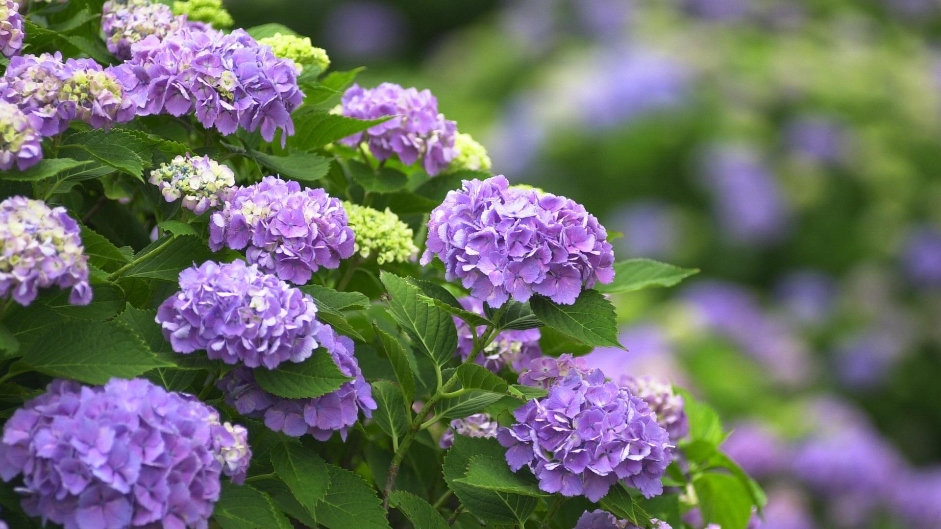 Purple Flowers Hydrangea 640x1136 Iphone 5 5s 5c Se Wallpaper