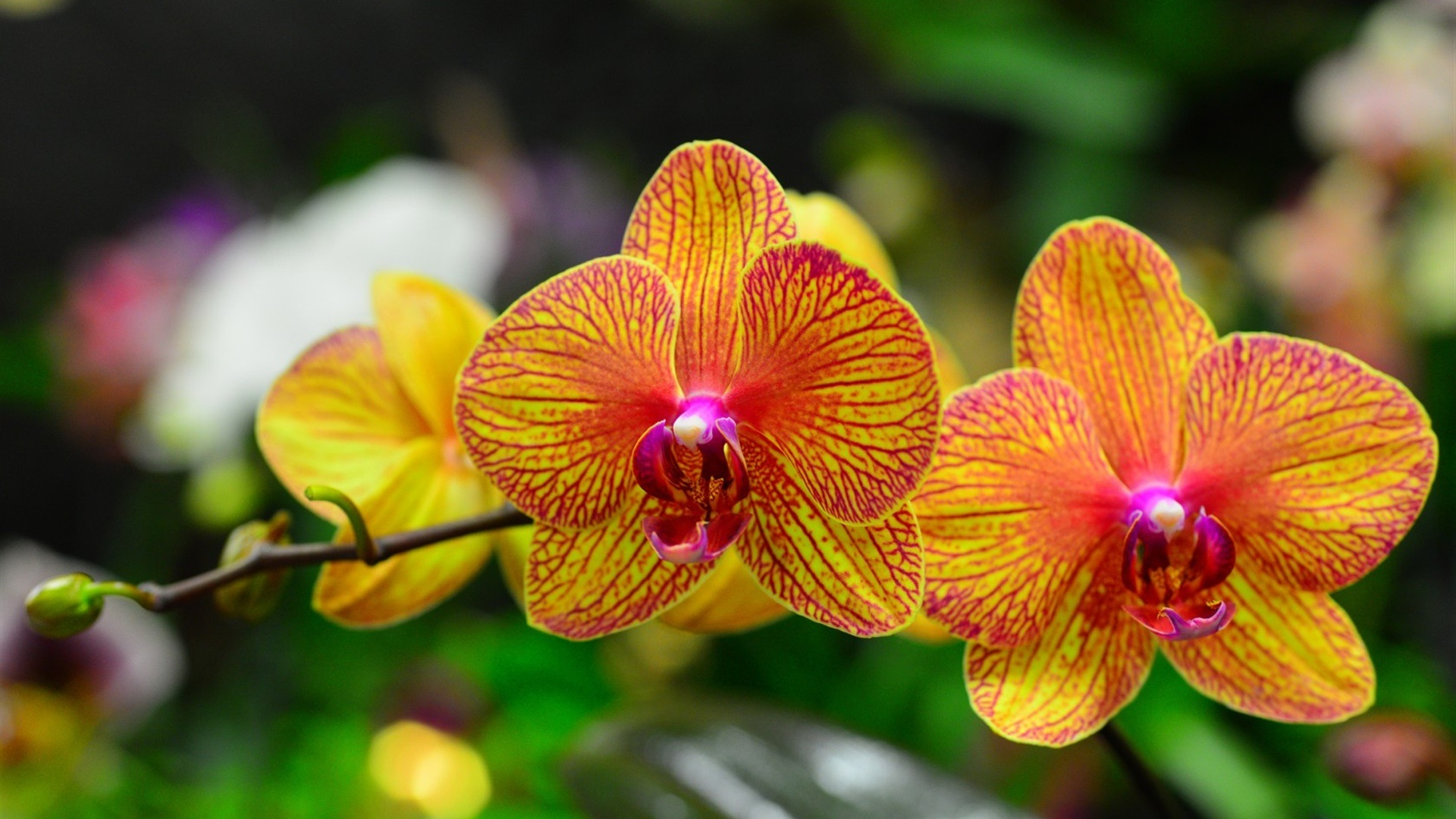phalaenopsis orchid wallpapers pictures - photo #14