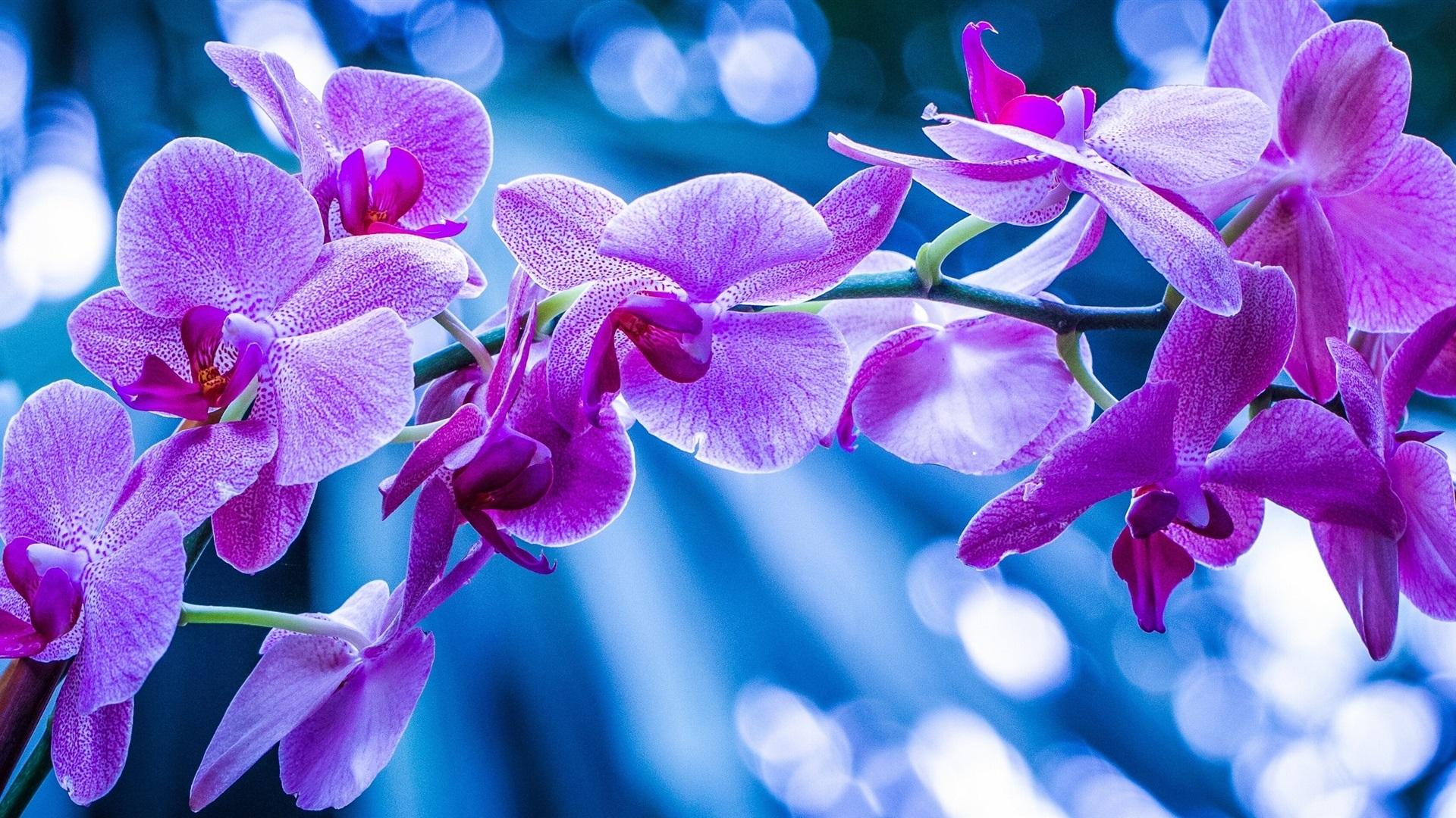 foto de Fonds d'écran Phalaenopsis, orchidées, fleurs roses, branche ...