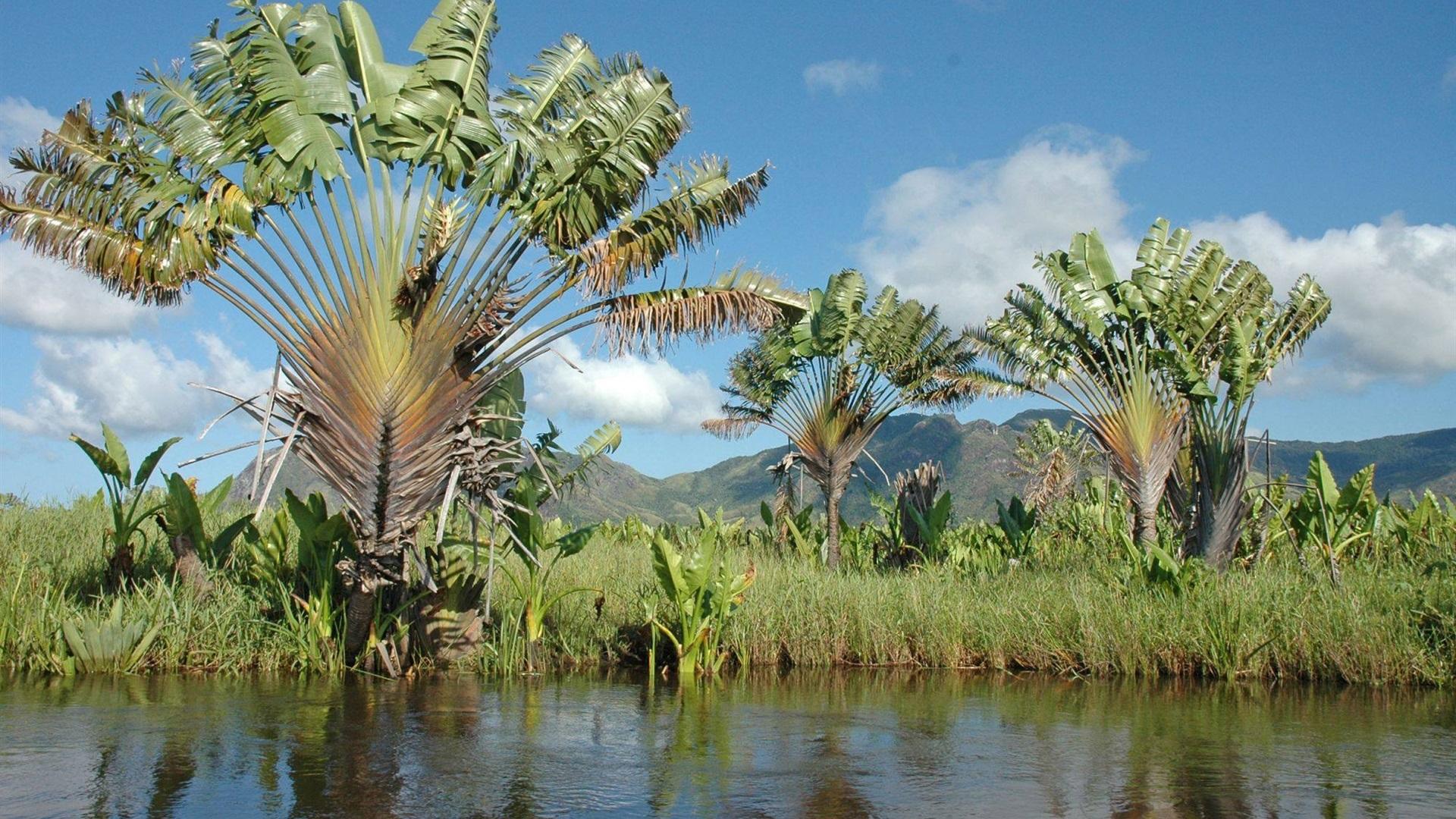 Fondos De Pantalla Palmeras Ravinala Río Madagascar