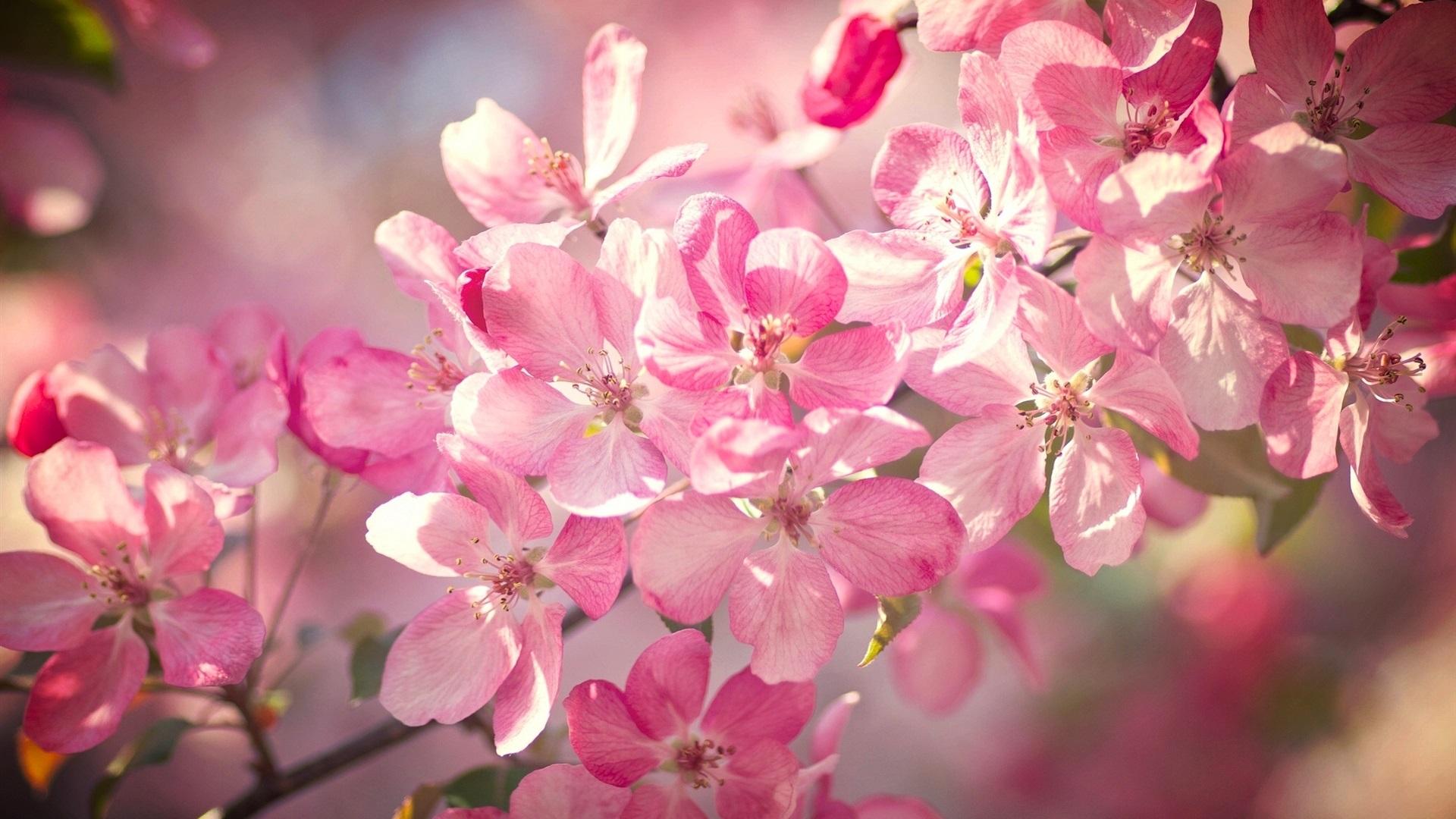 Belle fleurs de cerisier fleurs p tales roses printemps - Fleurs roses de printemps ...