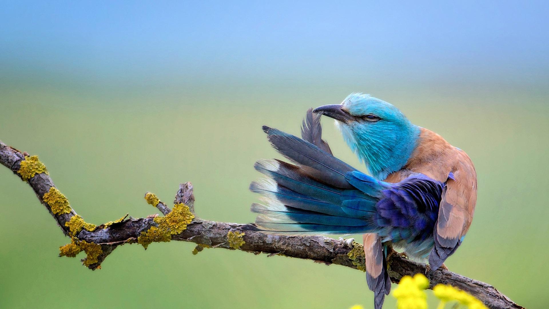 Fonds D Ecran Coracias Garrulus Bleu Oiseau De Plumes