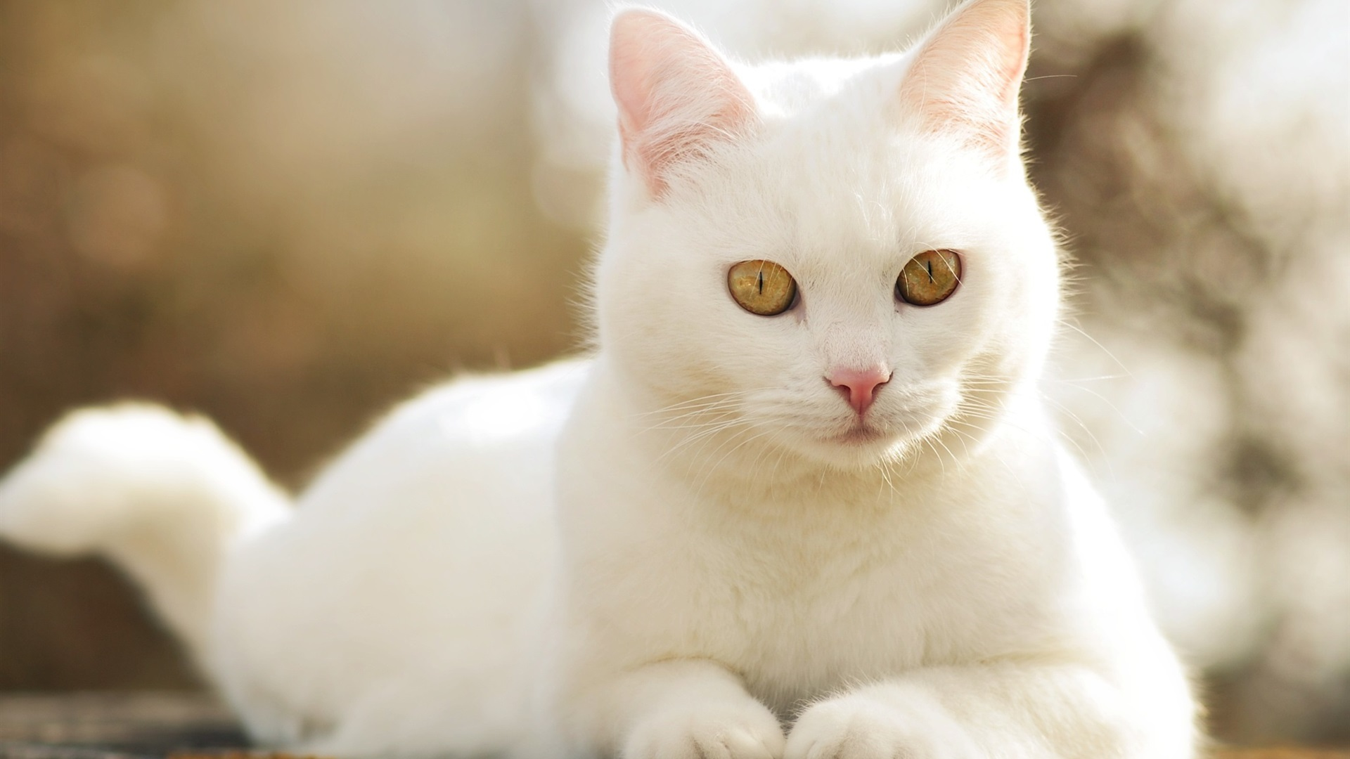 Wallpaper Cute White Cat Front View 1920x1200 Hd Picture Image