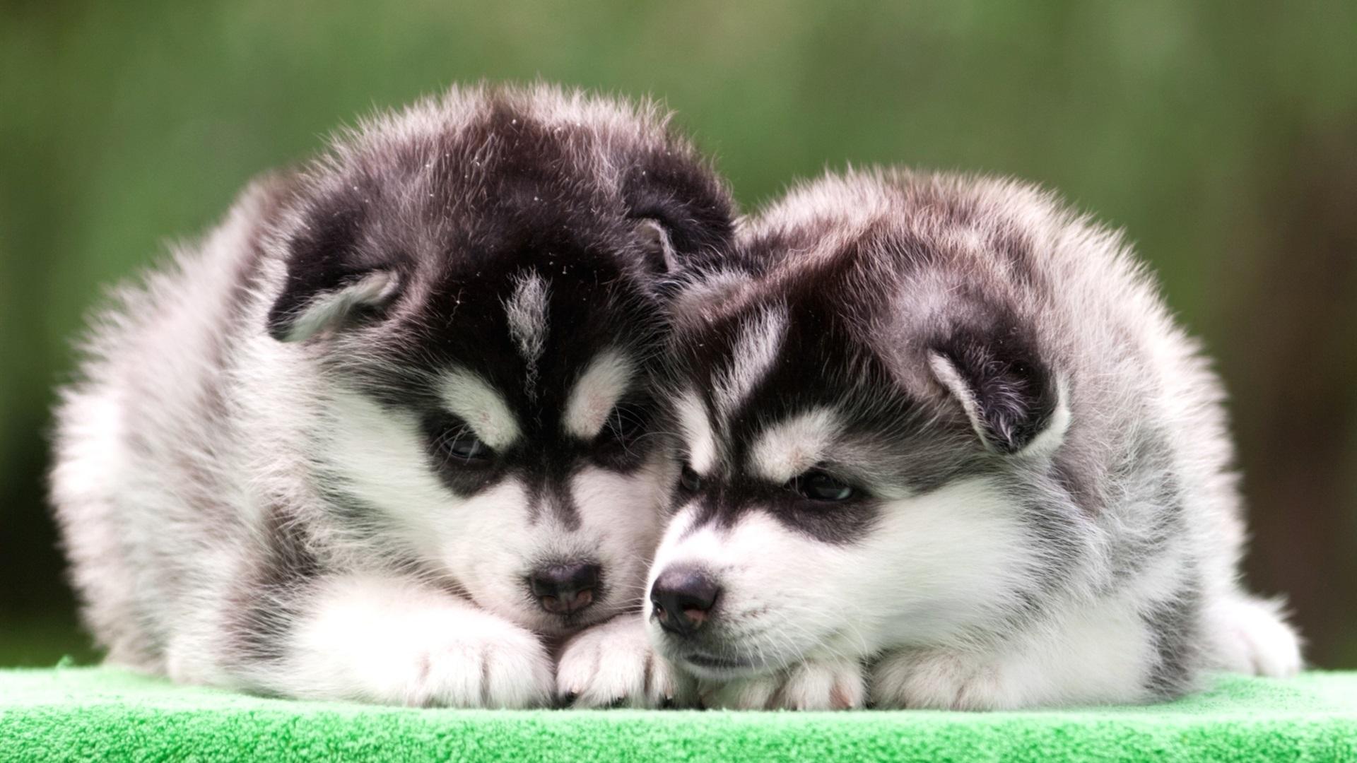 1080 Huky Puppies: 壁紙 ハスキーの子犬、2匹の犬 1920x1200 HD 無料のデスクトップの背景, 画像