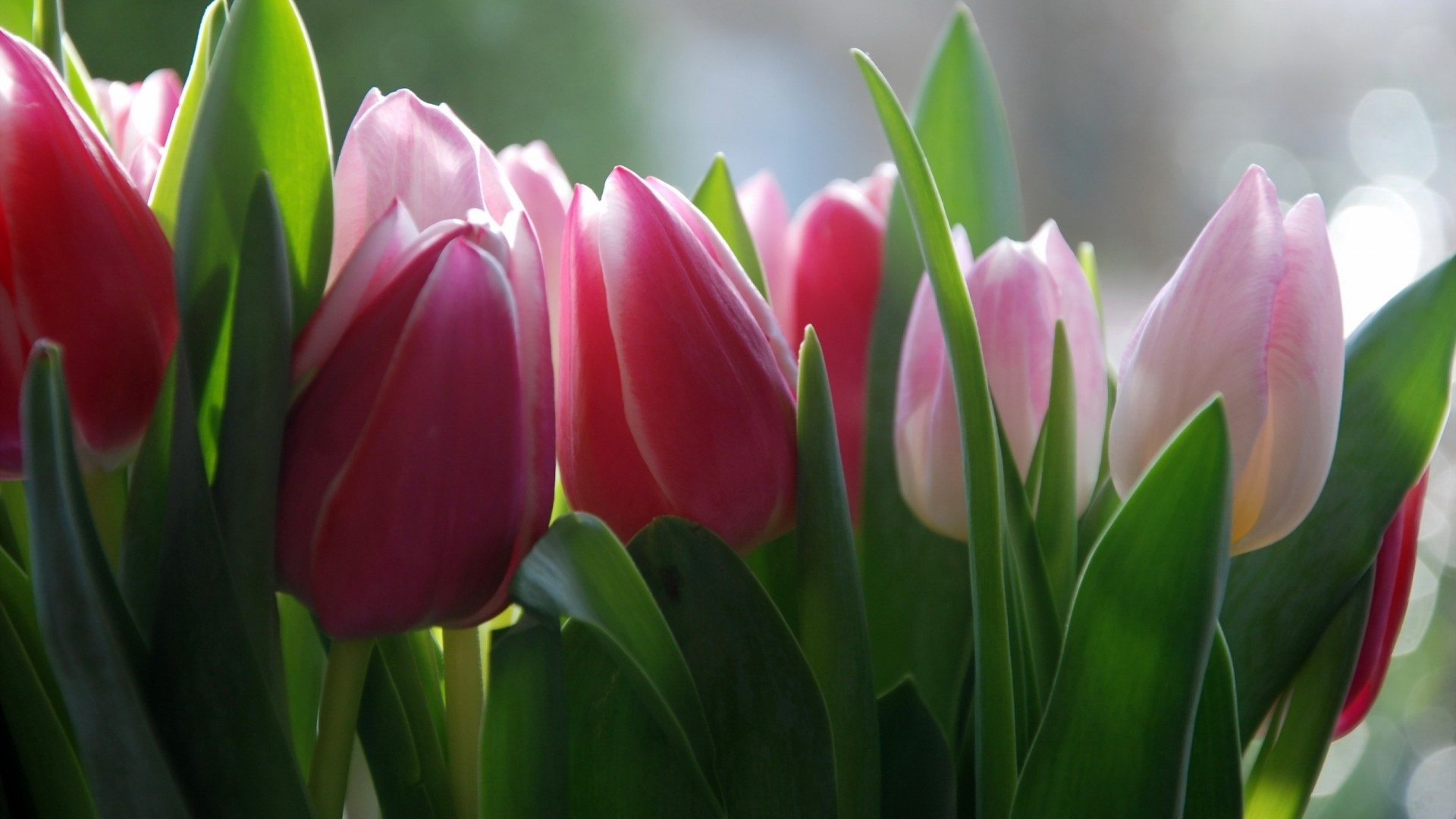 Сотрудницами, картинки тюльпанов