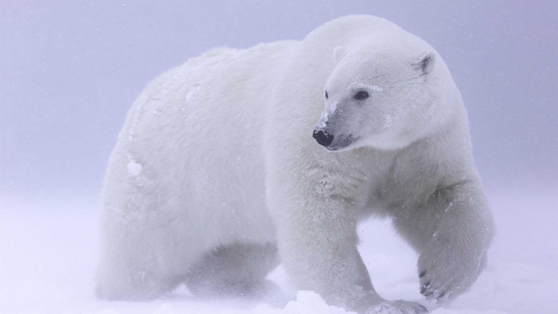 X Five Polar Bear Wallpaper Polar bear, ...