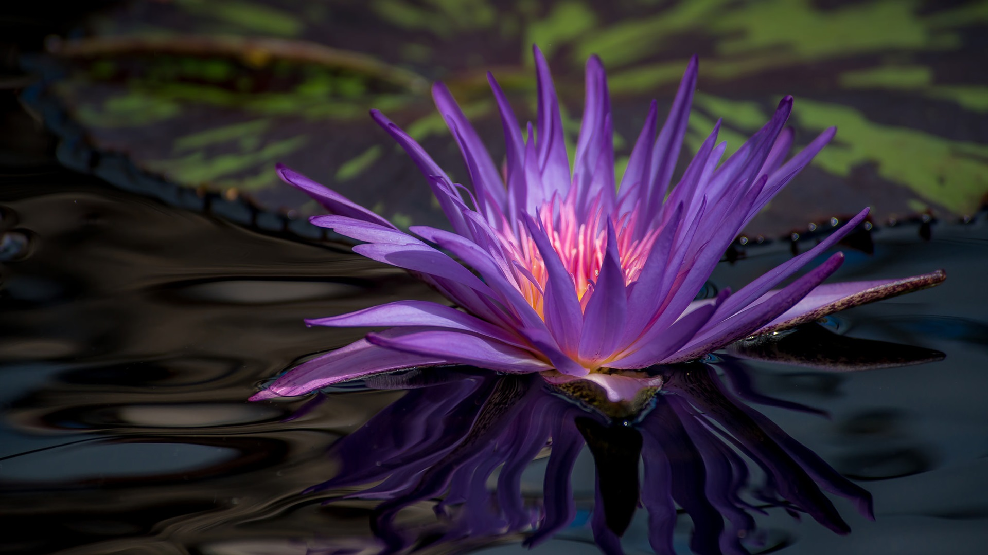 Wallpaper Purple Water Lily Flower In Pond 1920x1440 Hd Picture Image