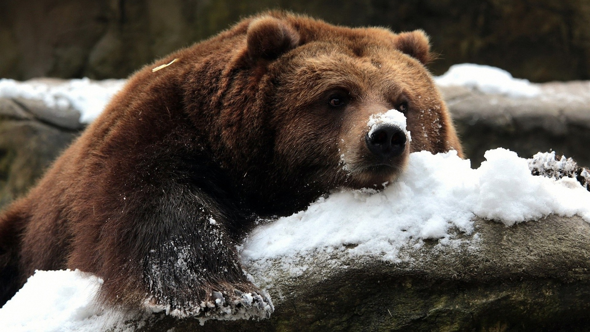 wallpaper brown bear in winter, snow 1920x1200 hd picture, image