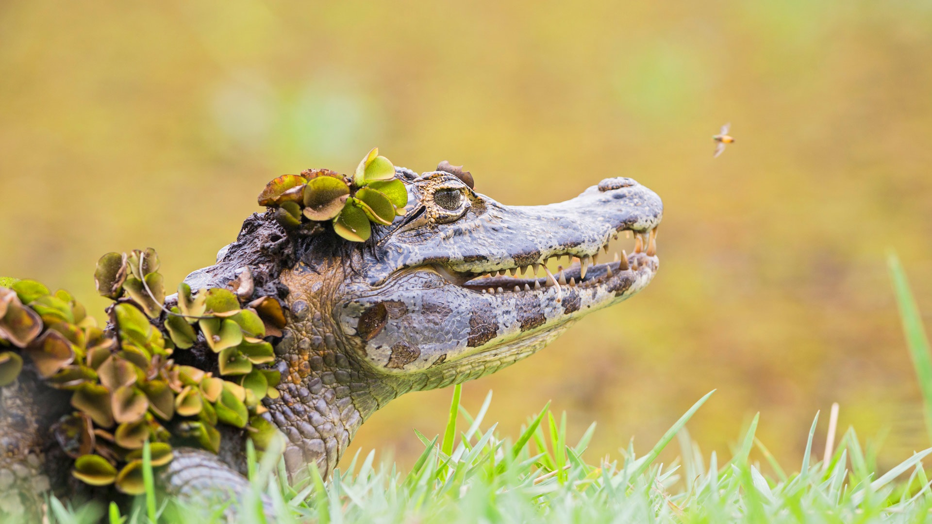 Маленький аллигатор  № 1381897  скачать