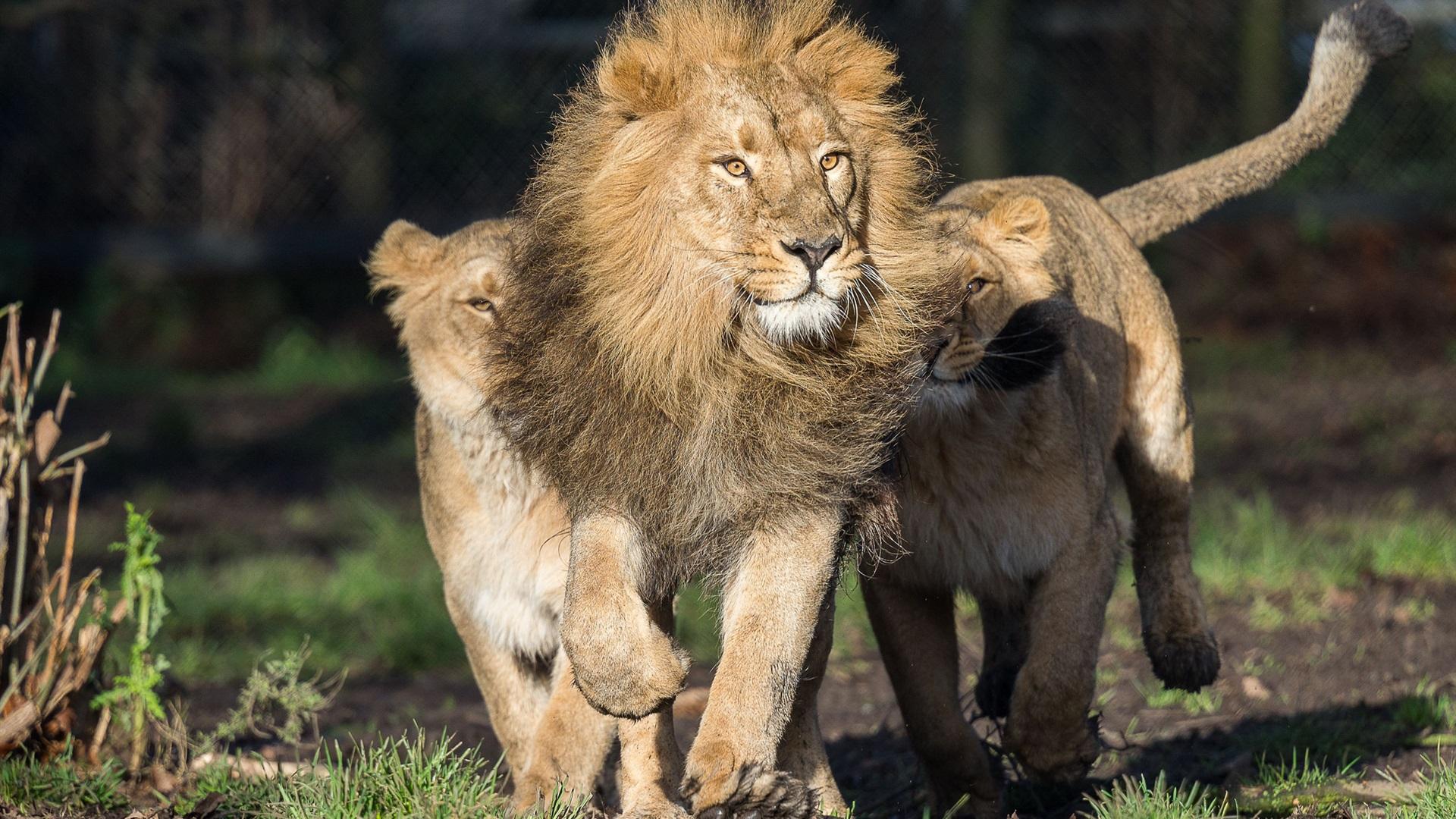 Картинки со львом и львицей он ее держит за хвост