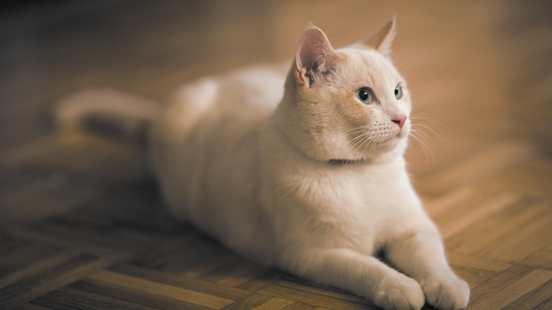Wallpaper White Cat Stay On The Flooring 1920x1200 Hd Picture Image