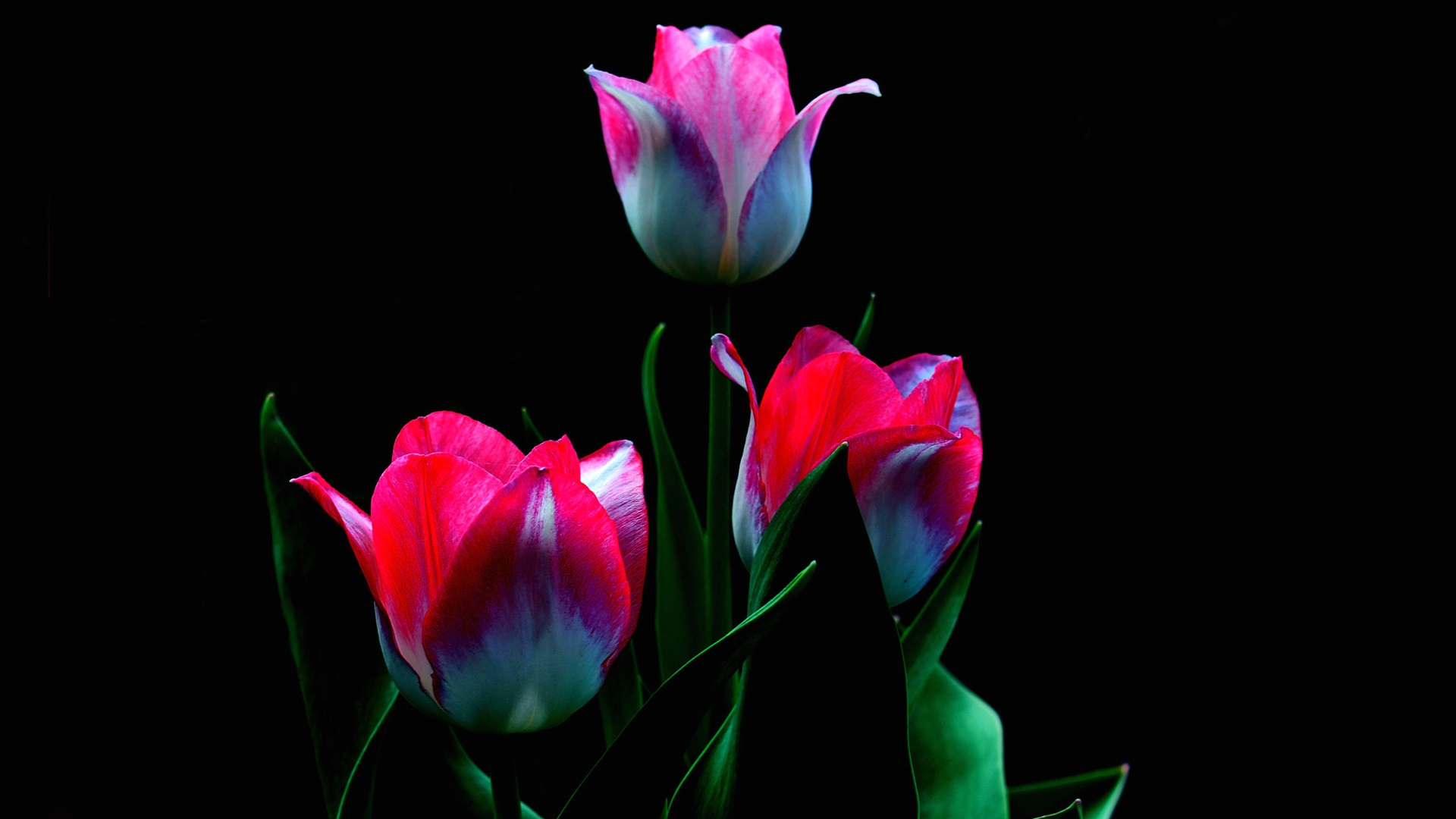 Wallpaper White Red Petals Tulips Black Background 1920x1200 Hd Picture Image
