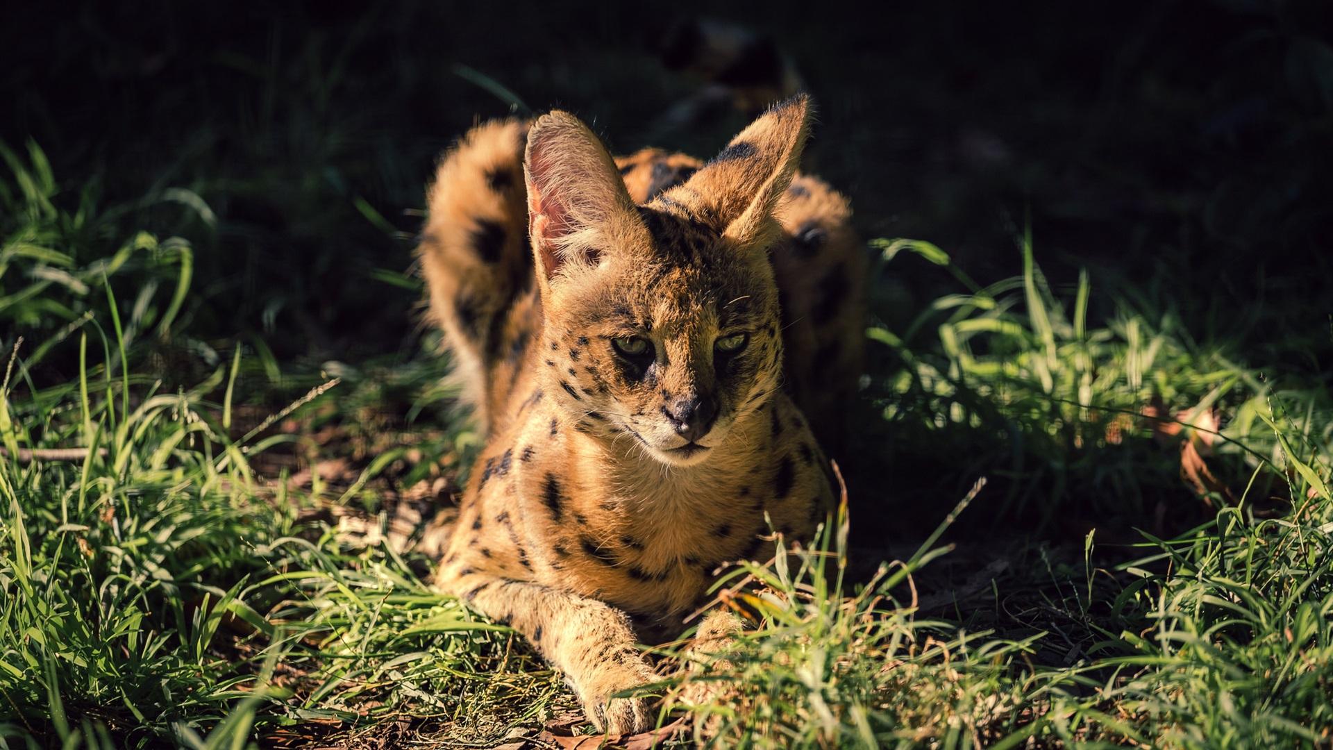 壁紙 野生の猫 サーバル 草 夜 1920x1200 Hd 無料のデスクトップの