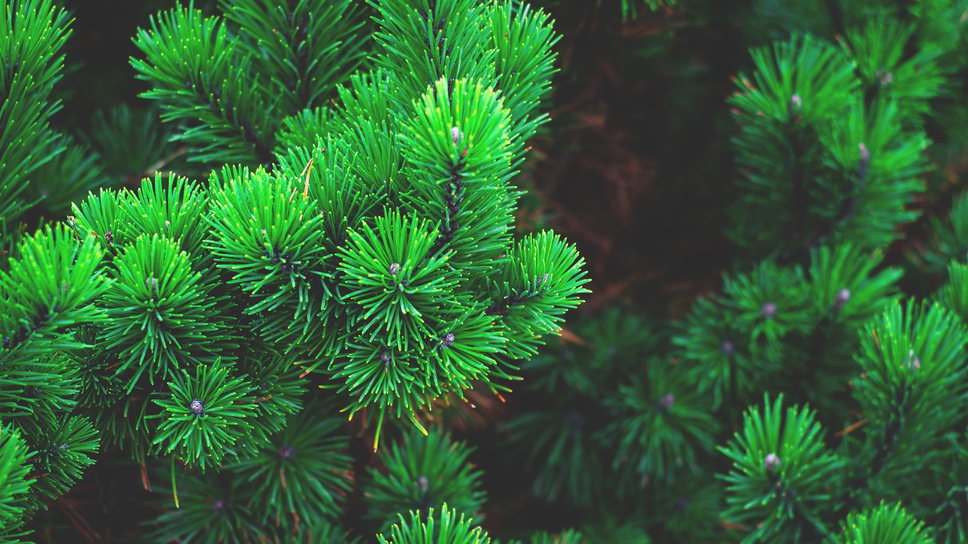 green pine branches wallpaper 1920x1080 full hd