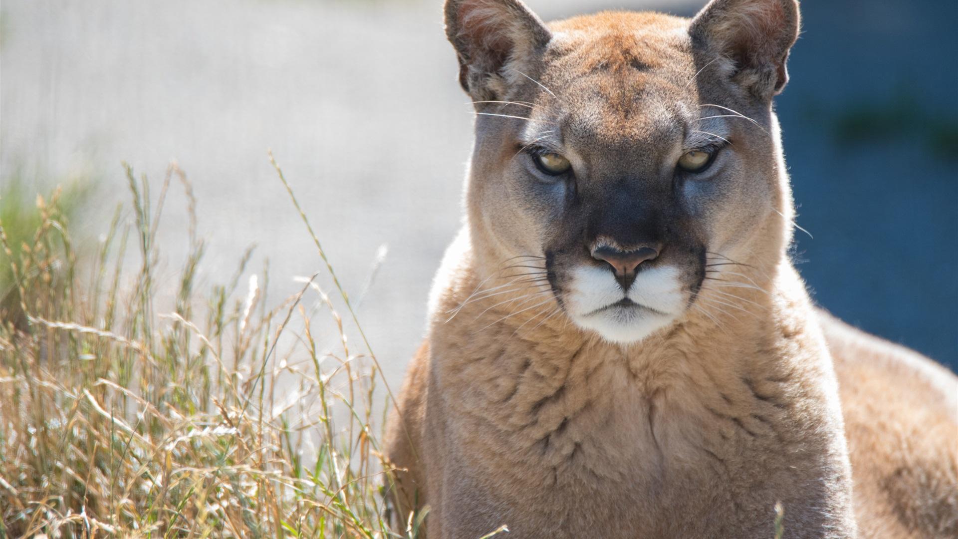 Wallpaper Mountain Lion Front View Cougar 3840x2160 Uhd 4k