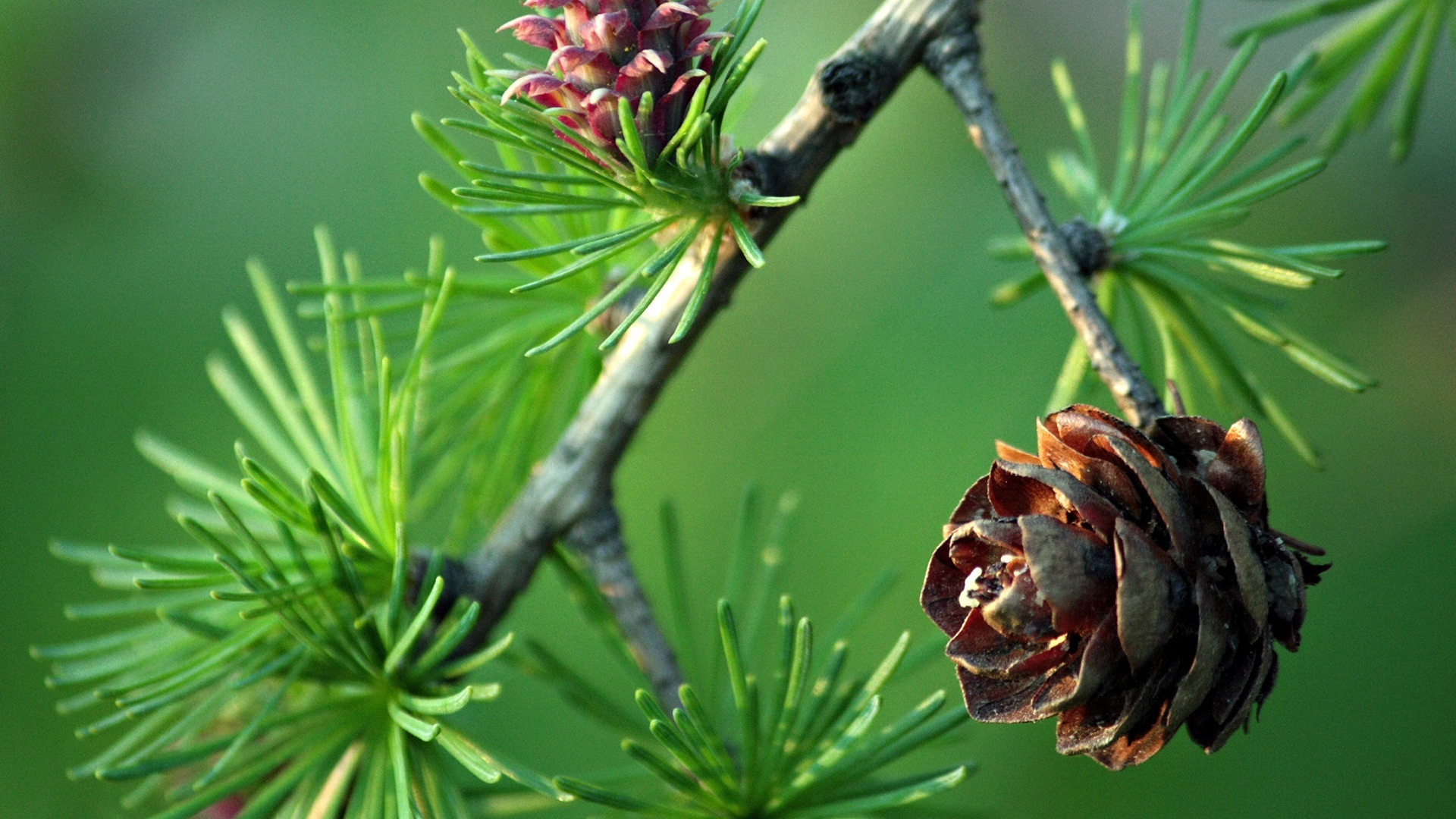 Макро сосна дерево зееное подборки