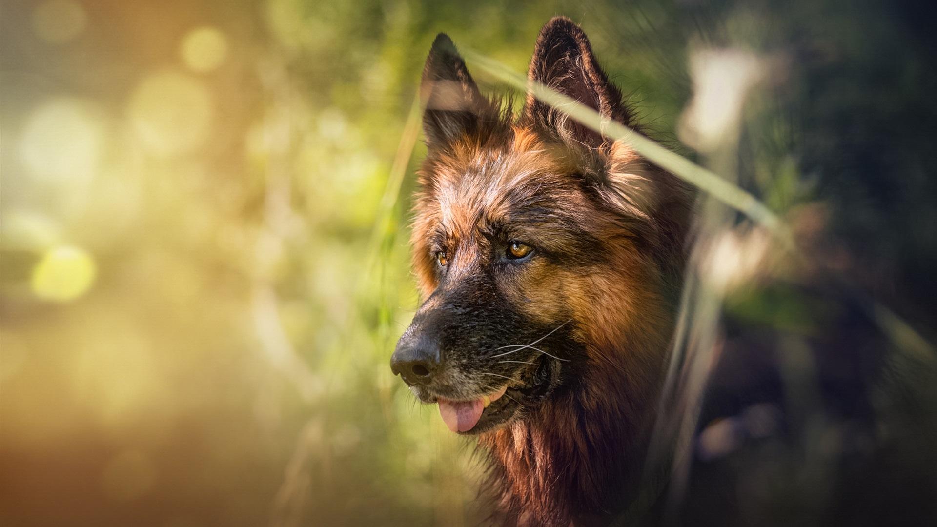 German shepherd, face, blurry Wallpaper | 1920x1080 Full ... Hd Wallpaper 1920x1080 Free Download