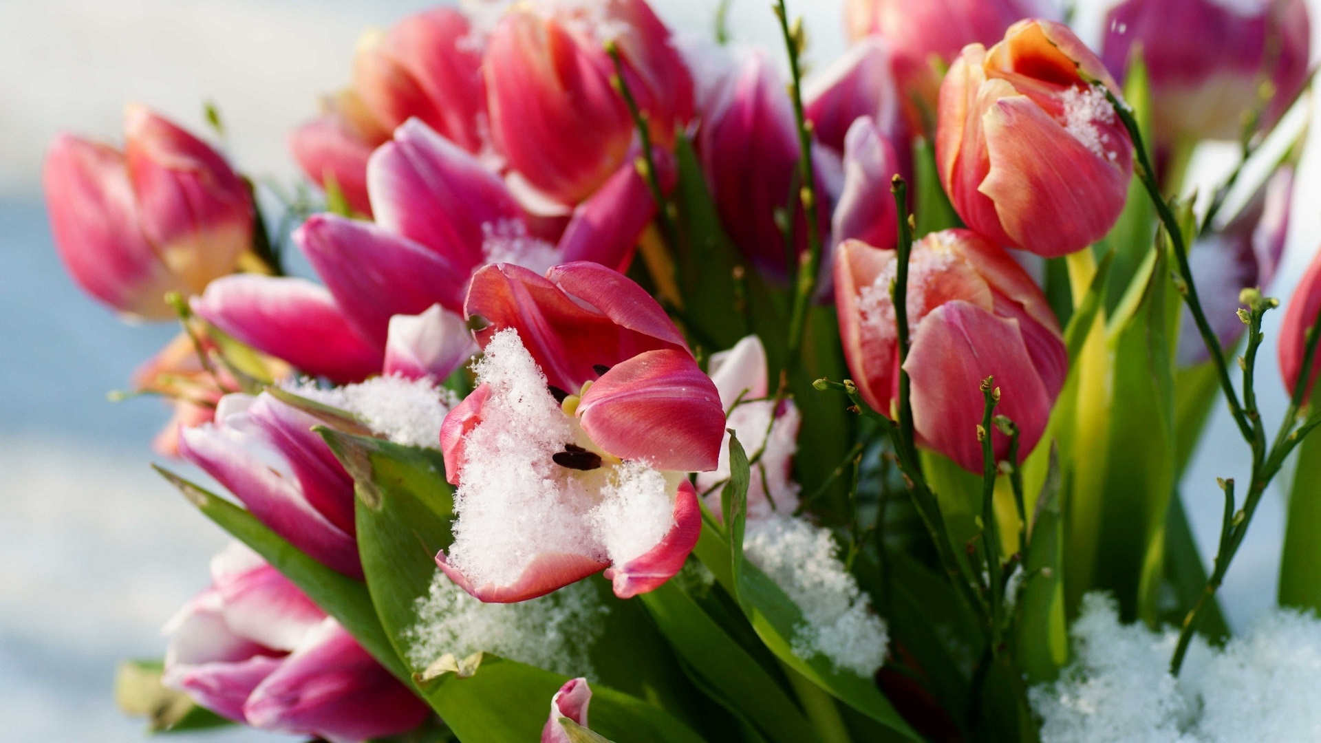 Wallpaper Pink Tulips Flowers Snow Winter 1920x1080 Full