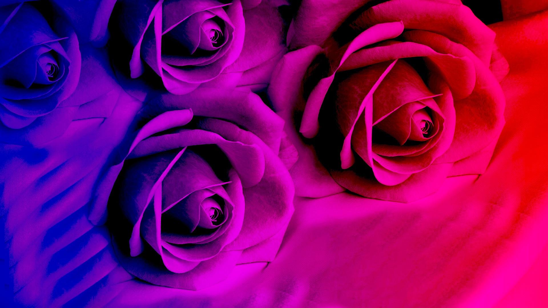 Fondos De Pantalla Flores De Rosa Rojo Y Morado 1920x1080 Full Hd