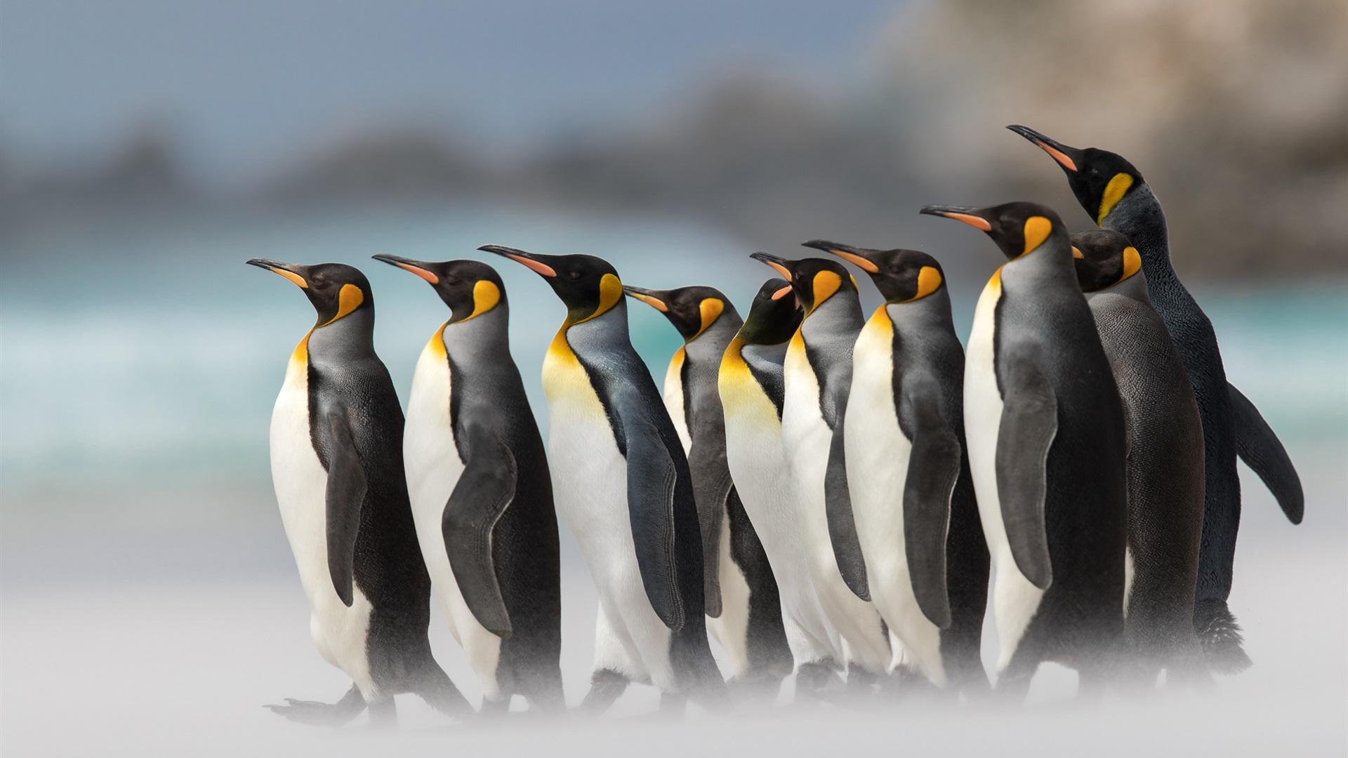 Royal penguins, fog Wallpaper | 1920x1080 Full HD ...
