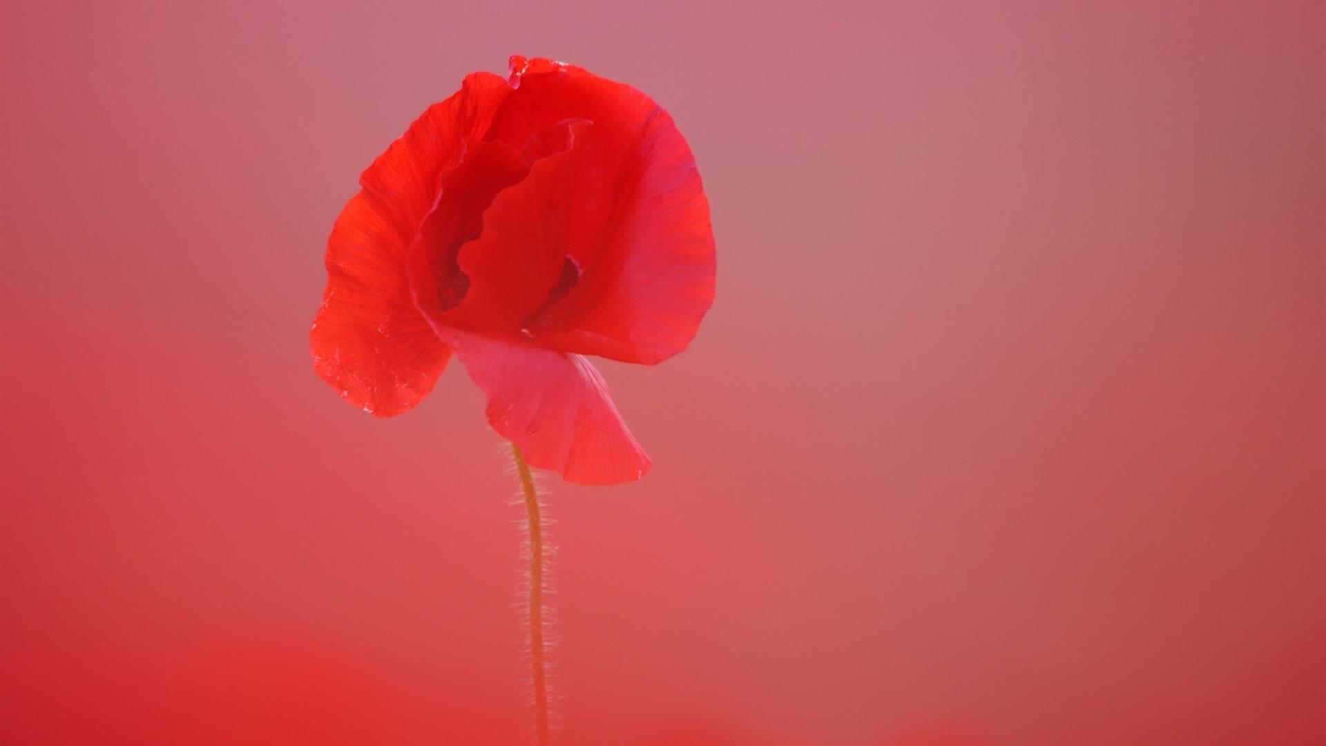 poppy red background - photo #25