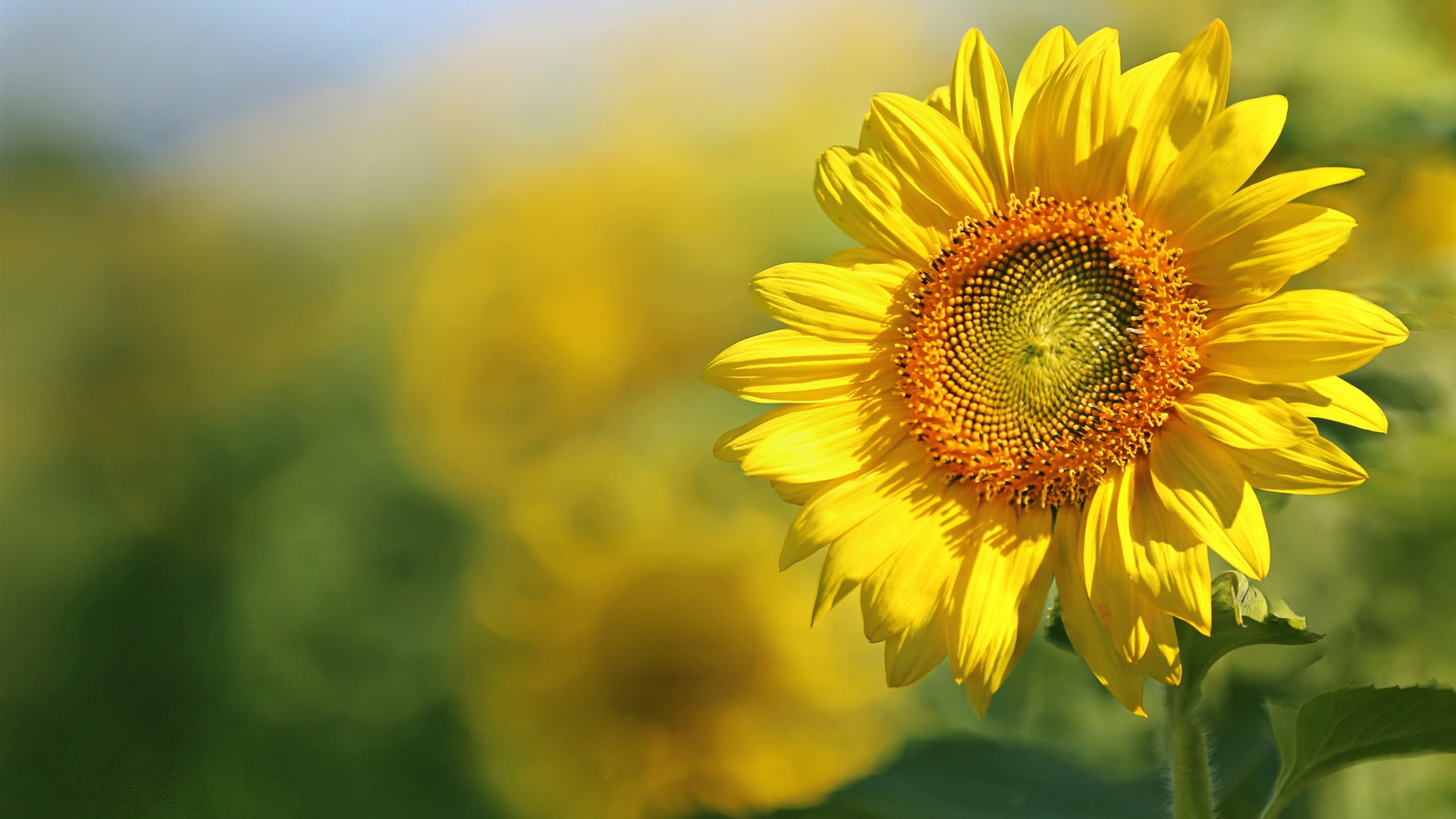 Girasol ptalos amarillos verano fondos de pantalla 1920x1080 girasol ptalos amarillos verano hintergrundbilder 1920x1080 full hd thecheapjerseys Images