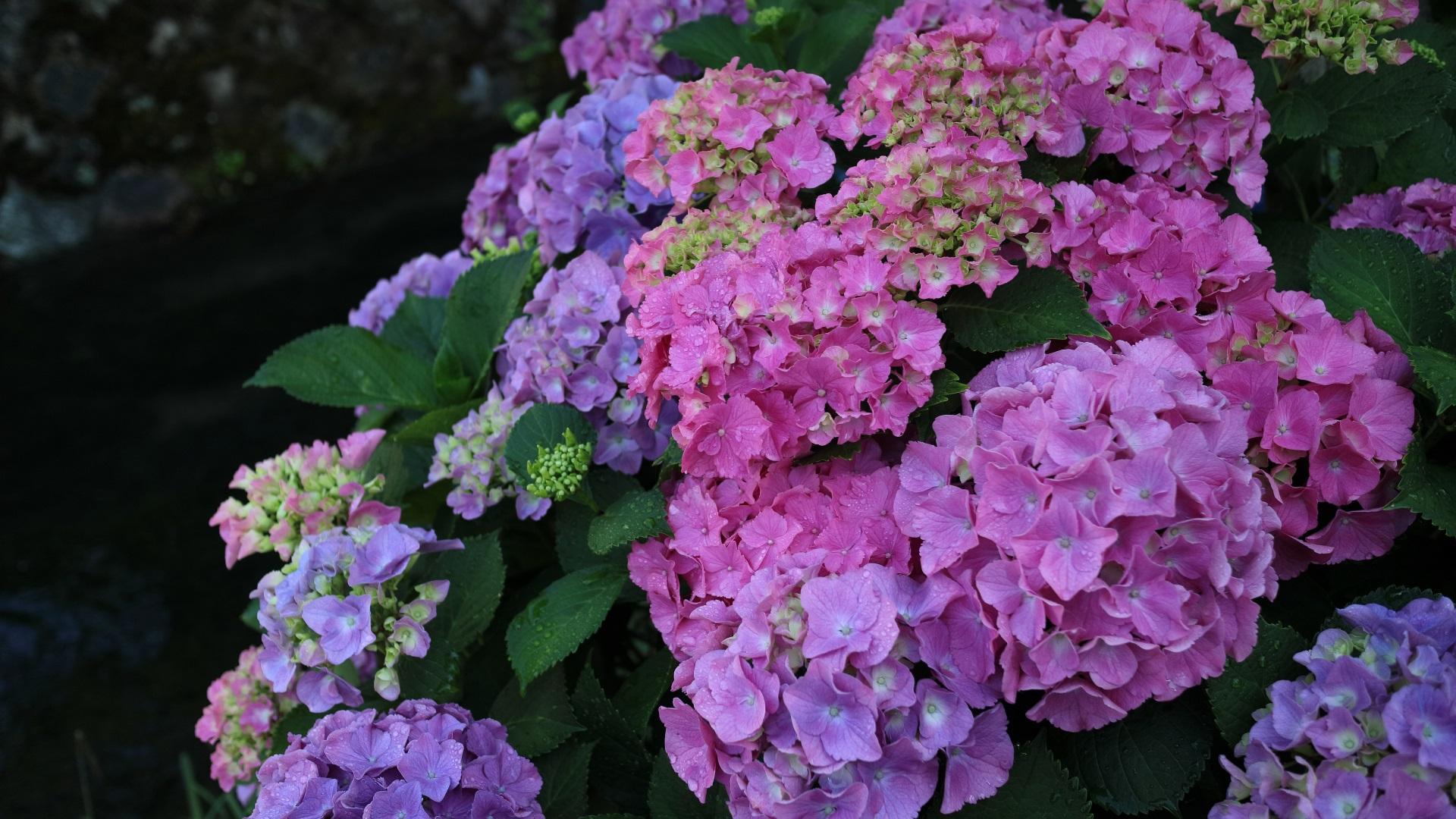 Beautiful Hydrangea Flowers Inflorescence Colorful 640x1136