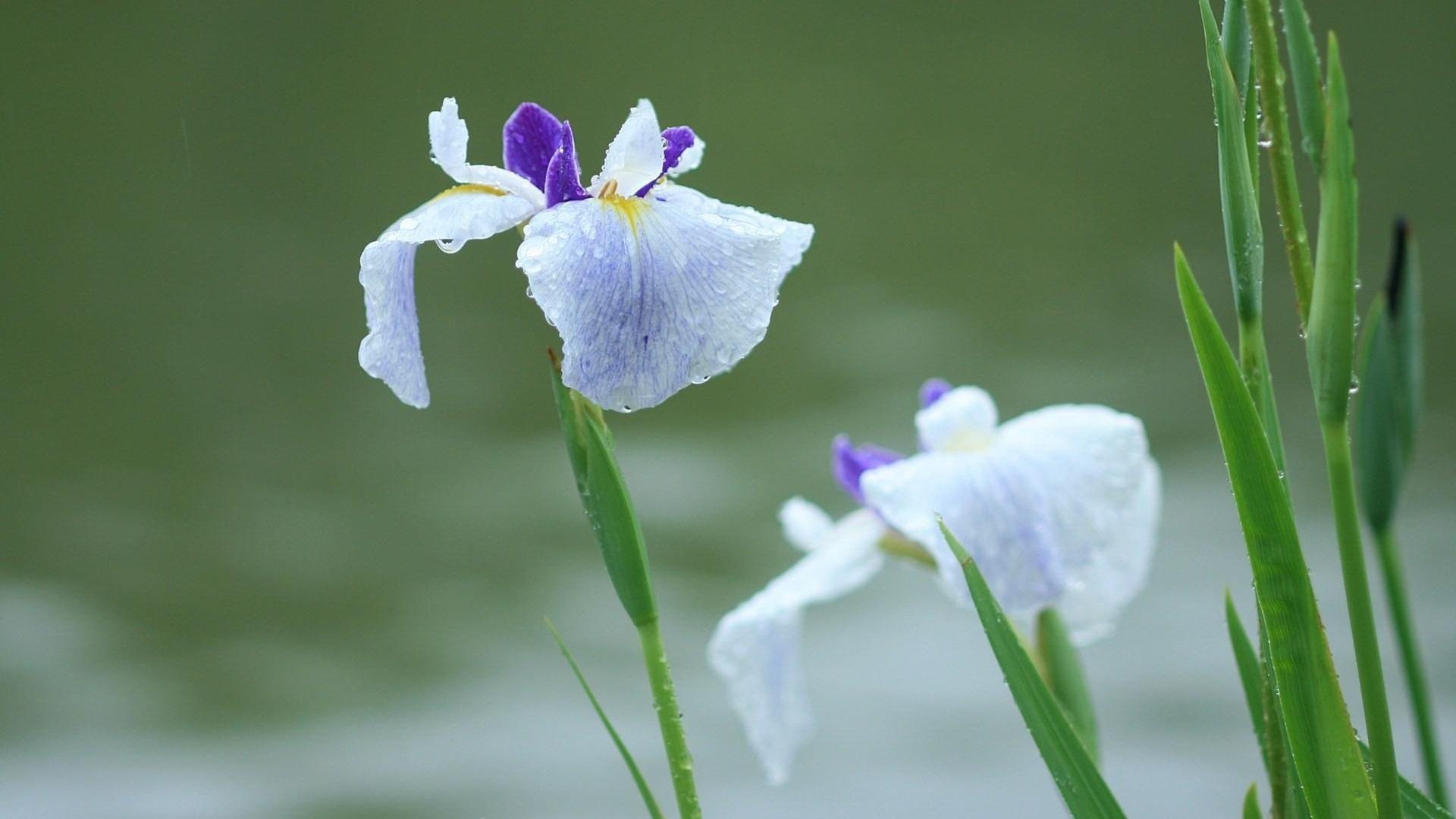 дождь, капля, цветок, ирис, лето скачать