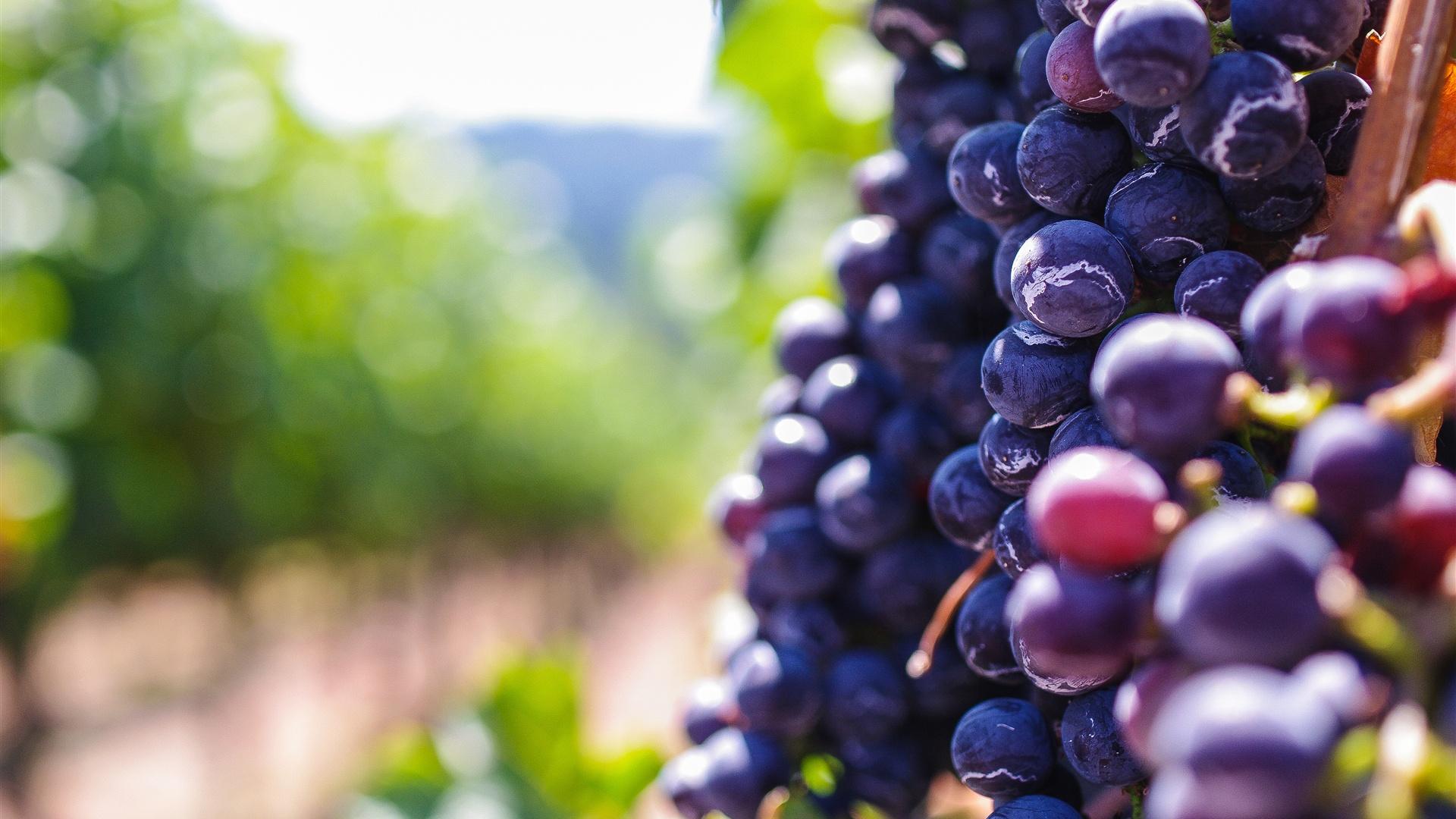 她的紫葡萄�_成熟的紫葡萄,水果 壁纸