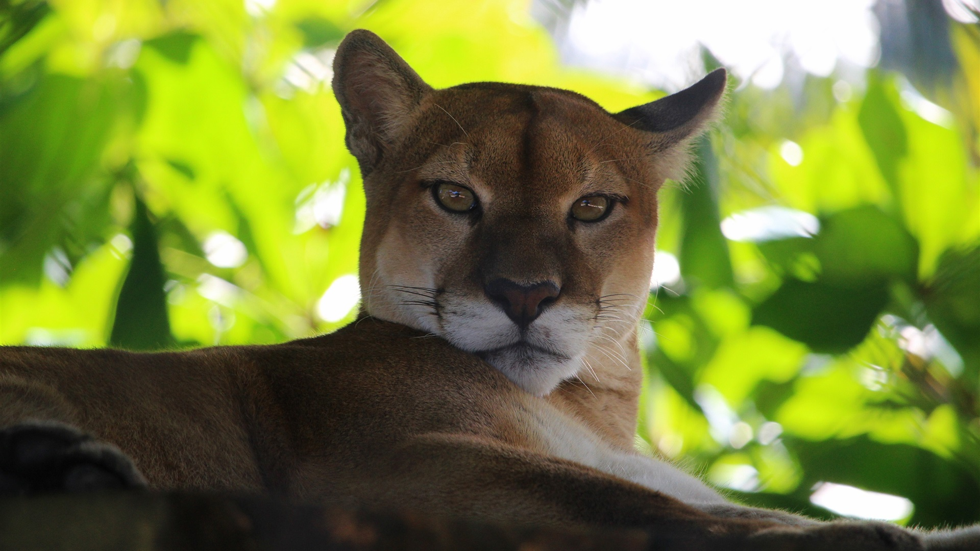 Puma, mountain lion, green leaves Wallpaper | 1920x1080 ...