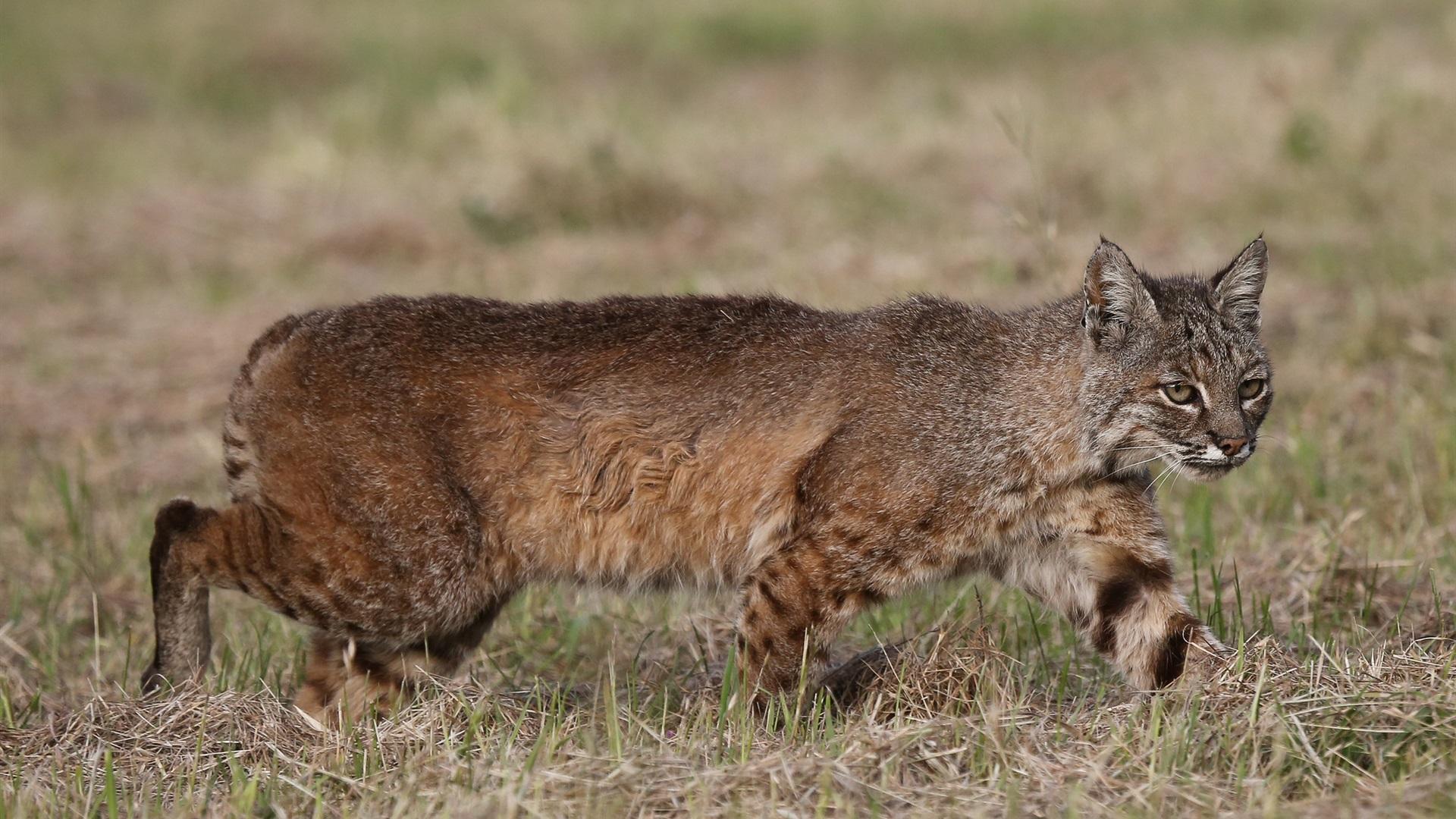 Wild cat, lynx, predator, hunting Wallpaper | 1920x1080 ...
