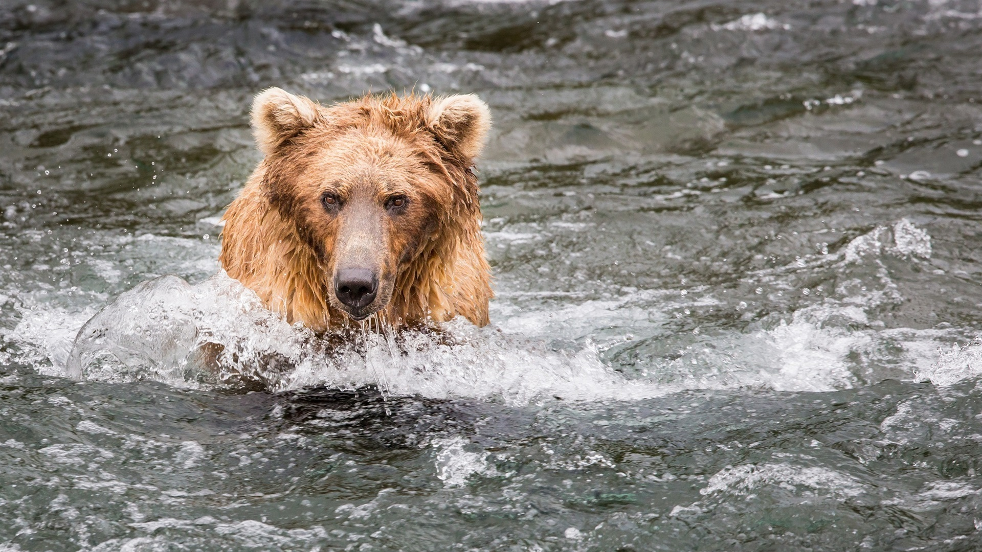 Pictures of bears fishing 85 best Grizzly Salmon images on Pinterest Grizzly bears, Wild