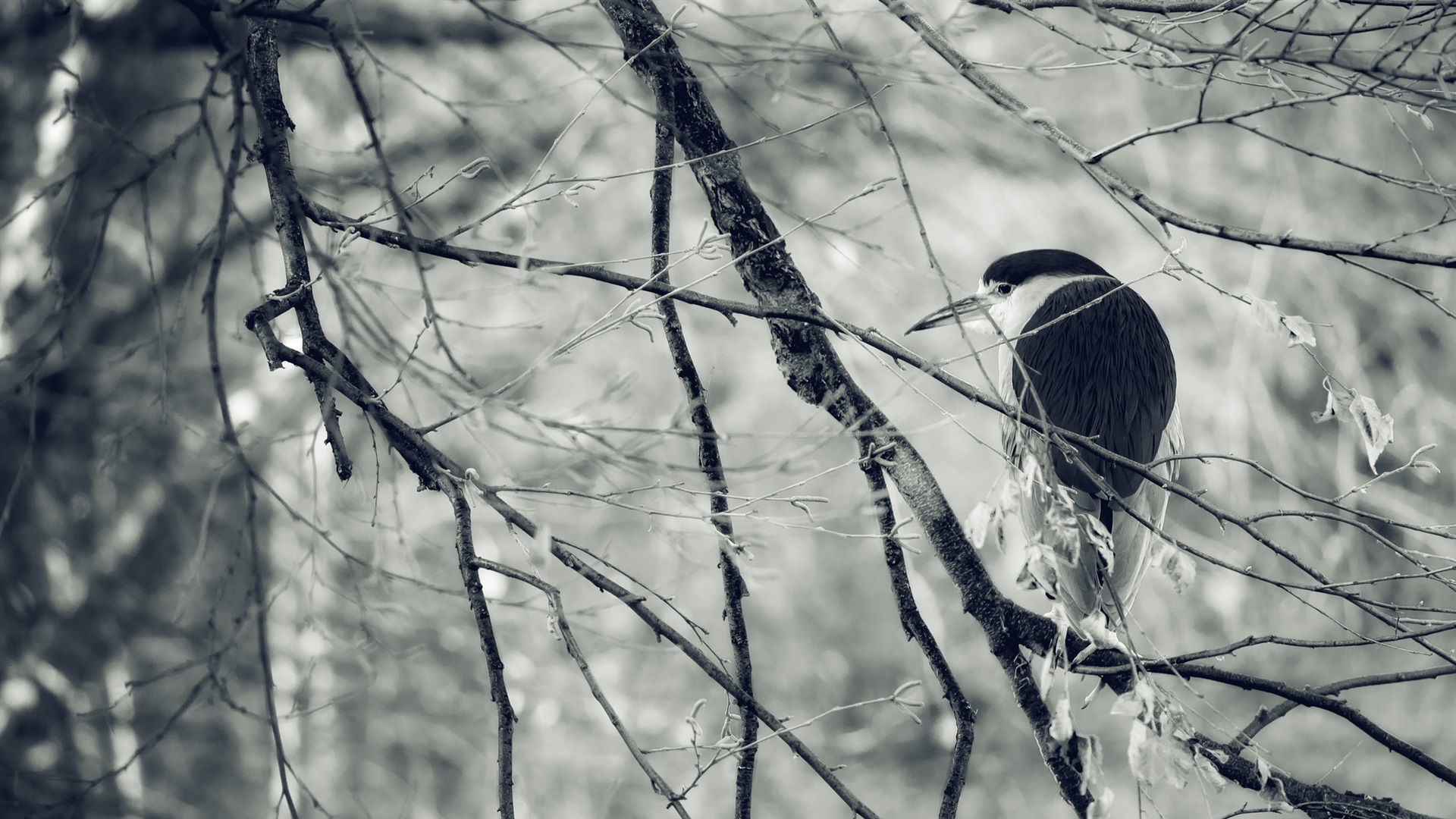 Wallpaper Bird In Tree Twigs Black And White Picture