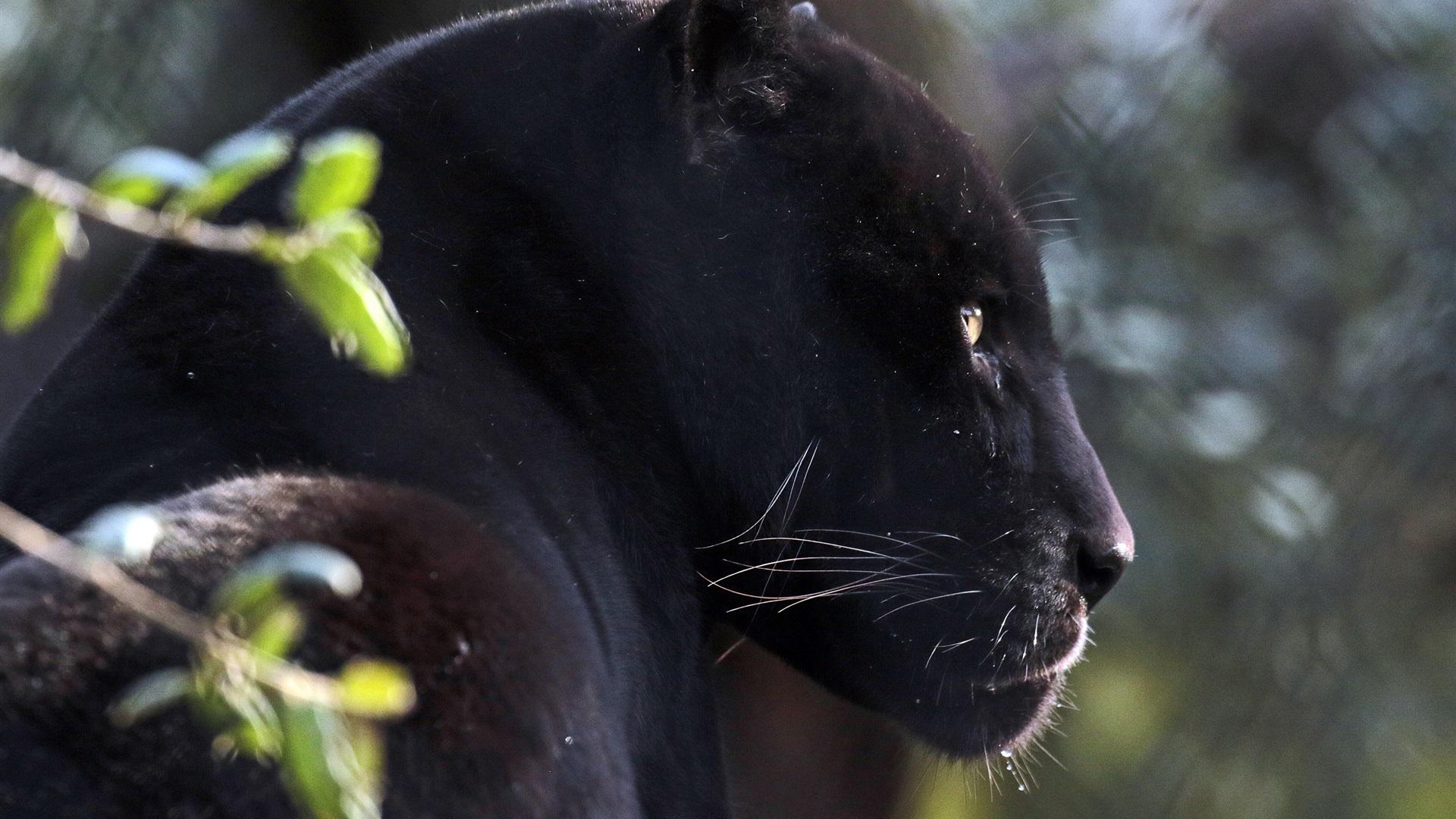 Pantera Imagenes Para Fondo De Pantalla Hd: Vista Lateral De Pantera Negra Fondos De Pantalla