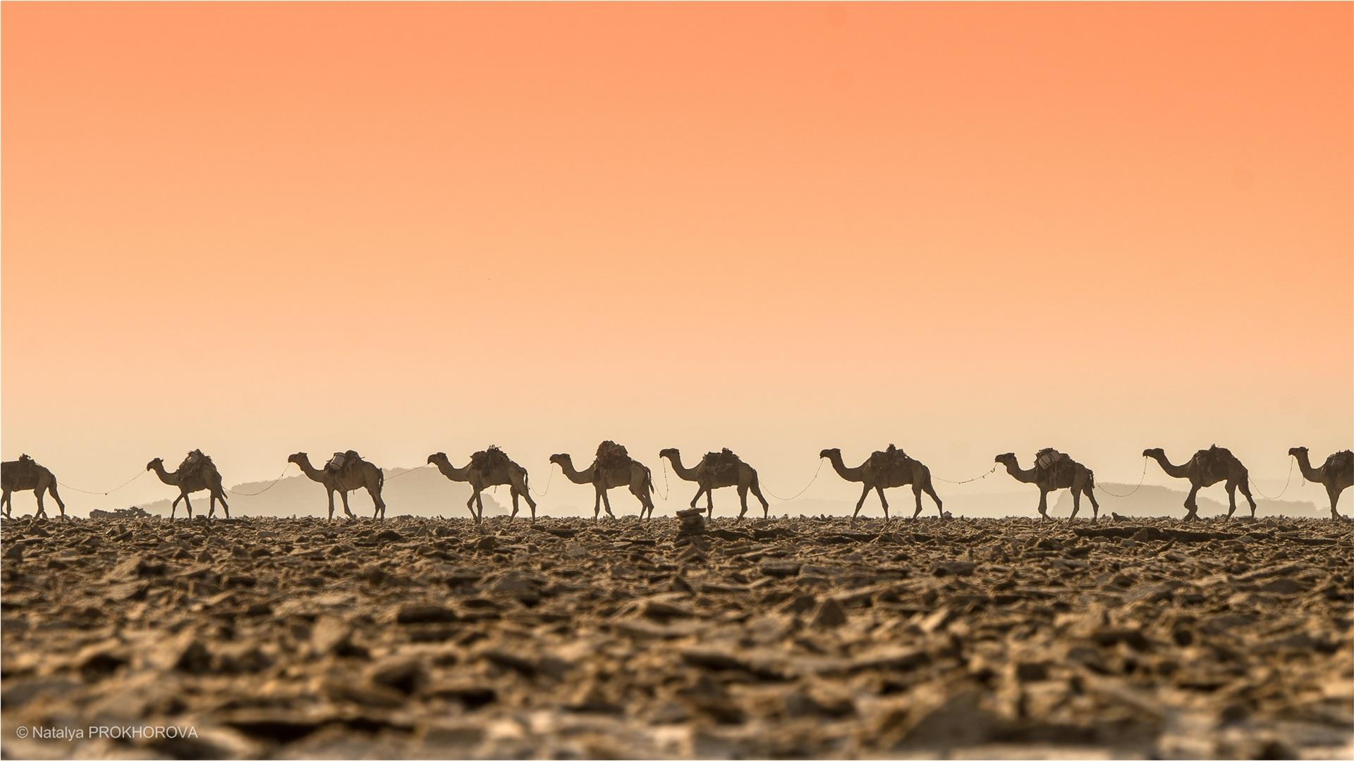 Wallpaper Desert Camels Dawn 1920x1080 Full Hd 2k Picture