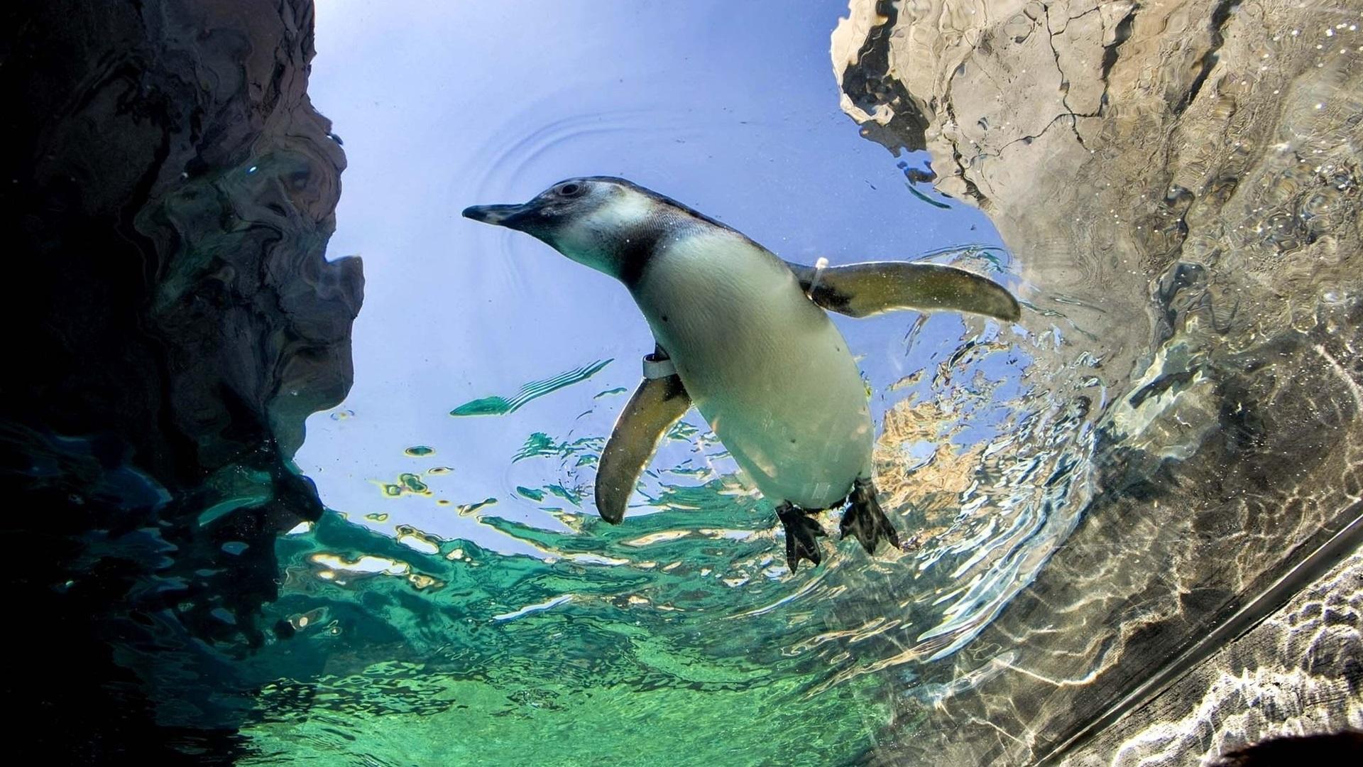 Пингвин в воде  № 96484 загрузить