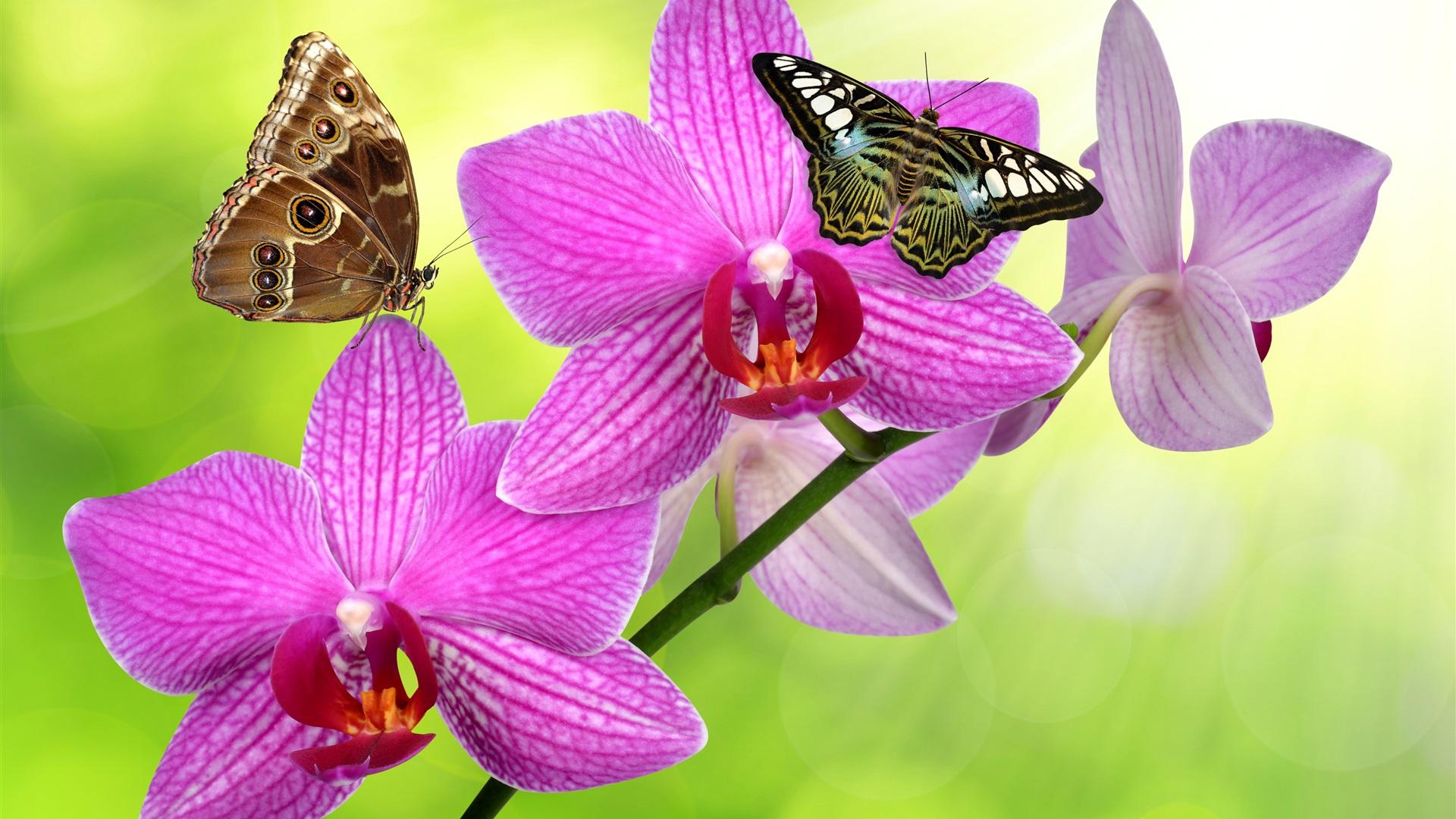 foto de Fonds d'écran Phalaenopsis fleurs roses, papillon 3840x2160 UHD 4K ...