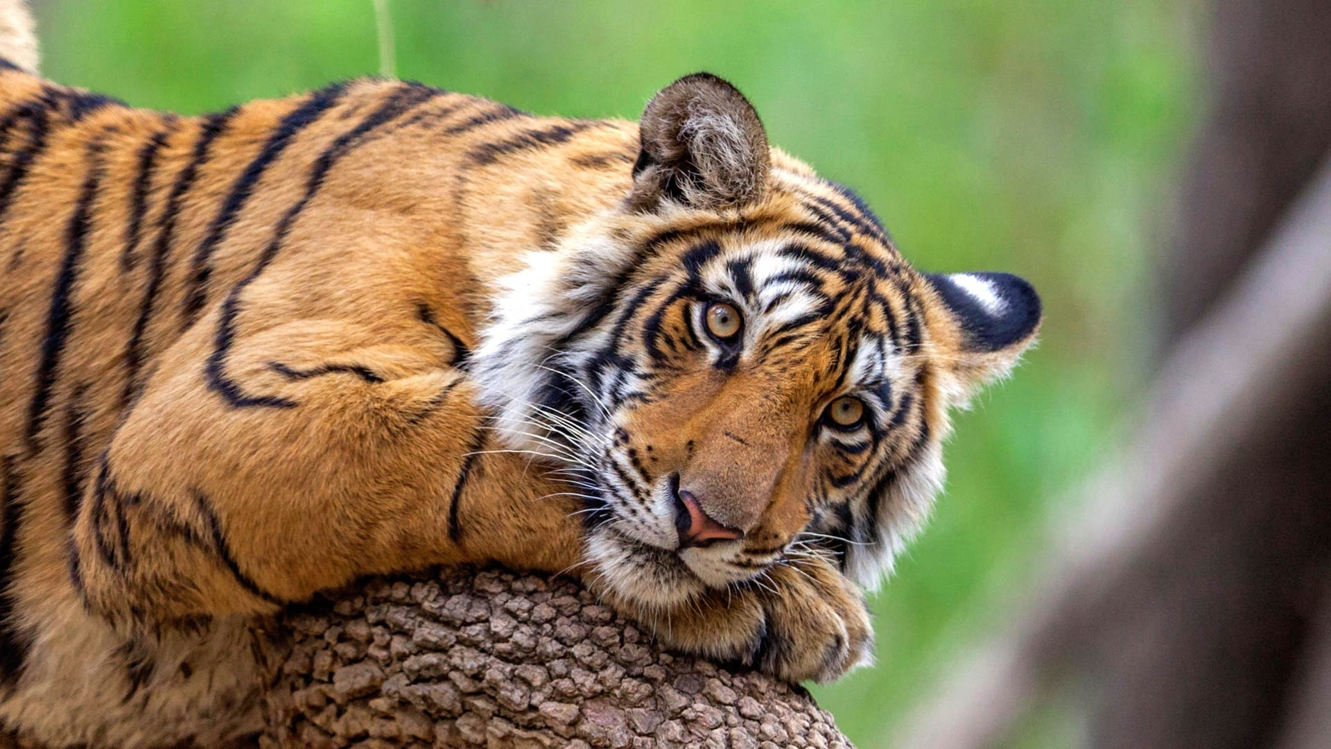 bengal tigers Threatened by the illegal wildlife trade, habitat loss and conflict with humans, the bengal tiger is currently endangered learn more about what wwf is doing to.