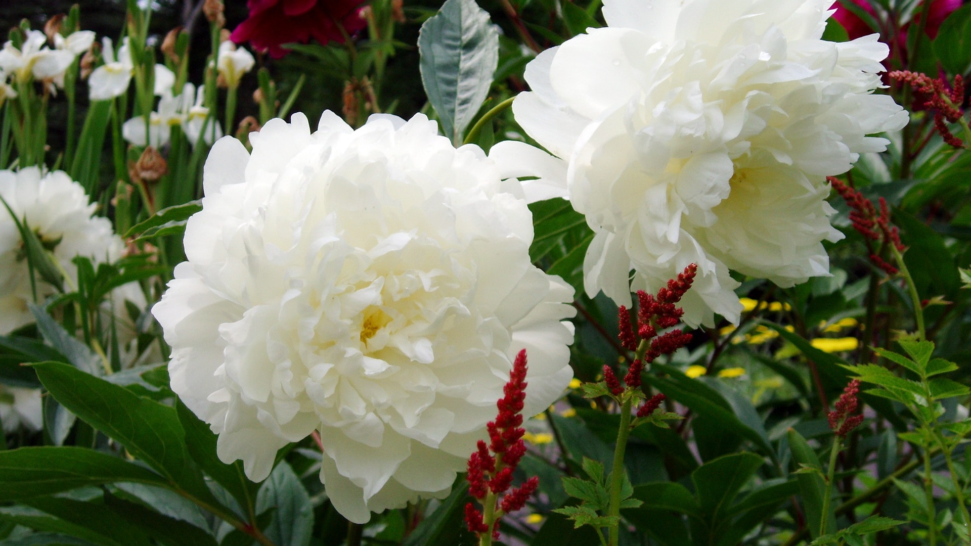 Wallpaper White Peonies Flowers Garden 1920x1440 HD Picture Image