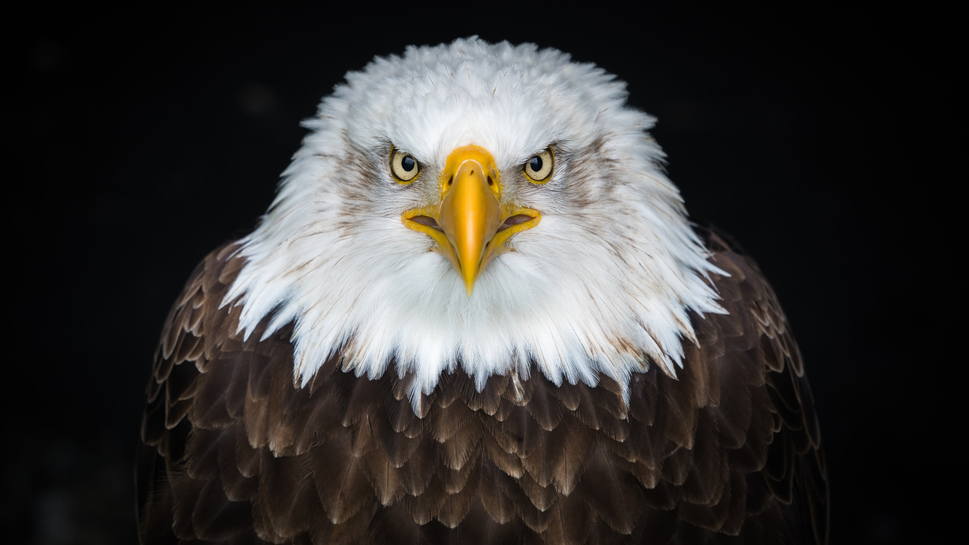 Wallpaper Bald Eagle Front View Beak Eyes 3840x2160 Uhd