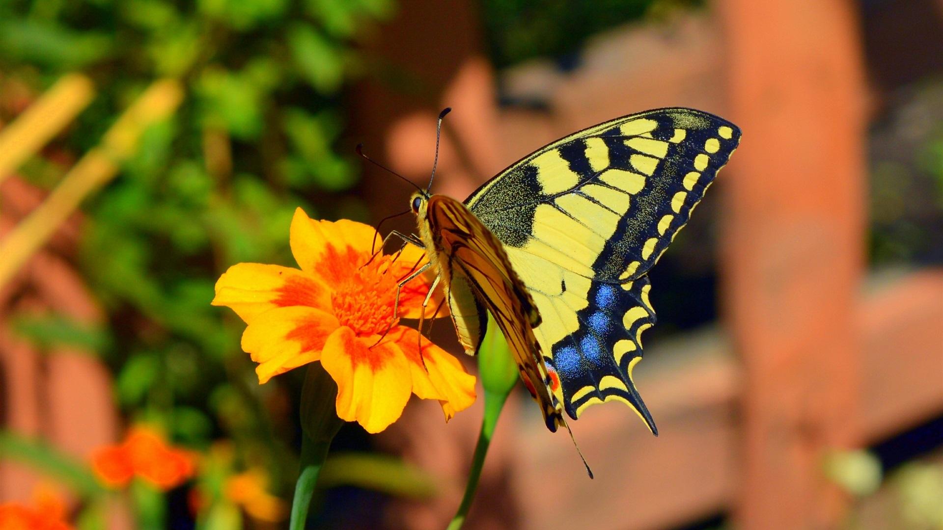 Orange flower, butterfly Wallpaper   1920x1080 Full HD ...