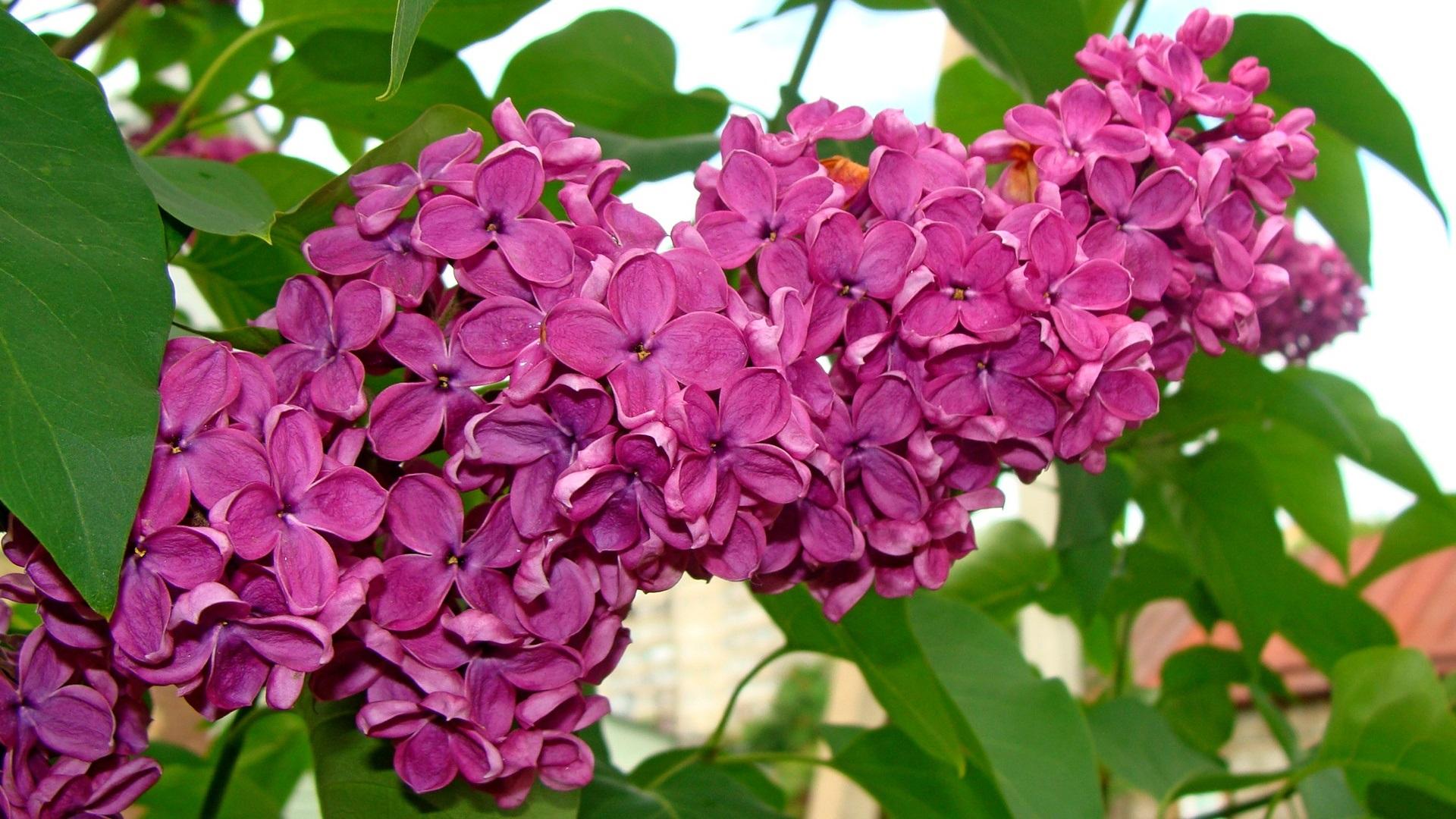 Wallpaper Beautiful Lilac Flowers Purple 1920x1080 Full Hd 2k