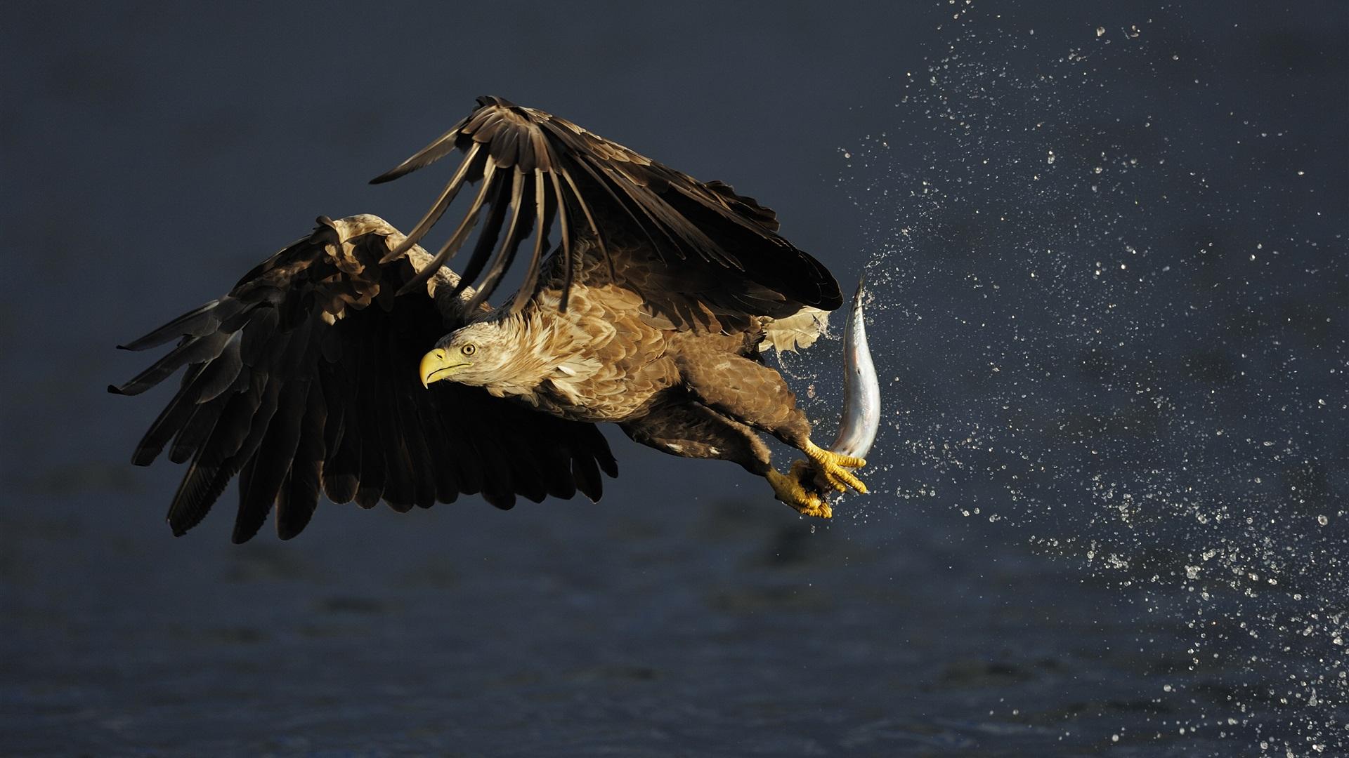 download wallpaper 1920x1080 eagle hunting fish water