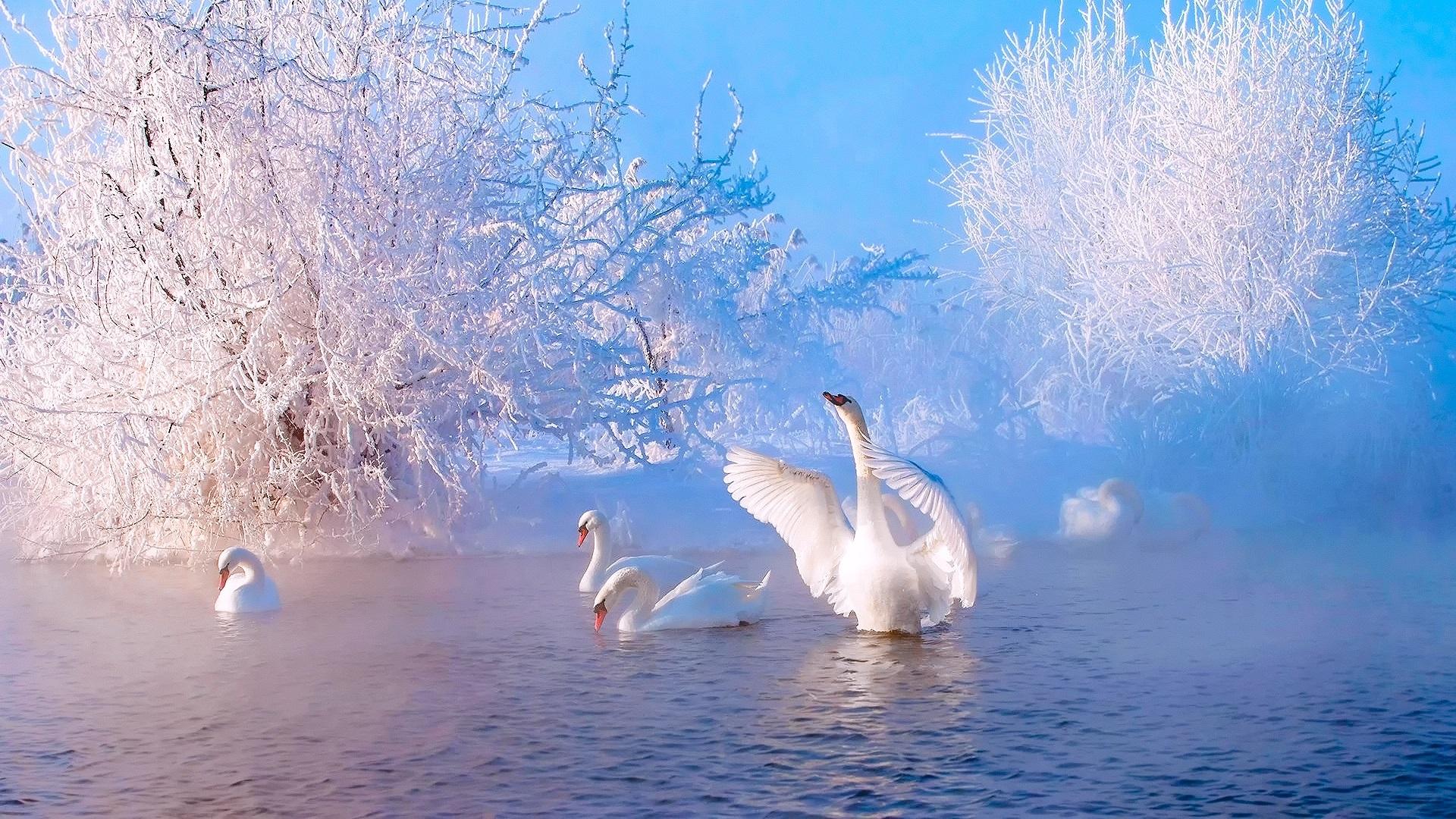 Beautiful-winter-morning-lake-trees-snow-white-swans_1920x1080.jpg