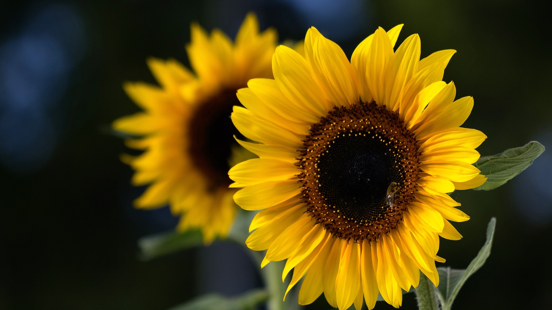 Imagenes De Fondo Flores Para Pantalla Hd 2: Fondos De Pantalla Girasoles, Abeja, Verano 1920x1200 HD
