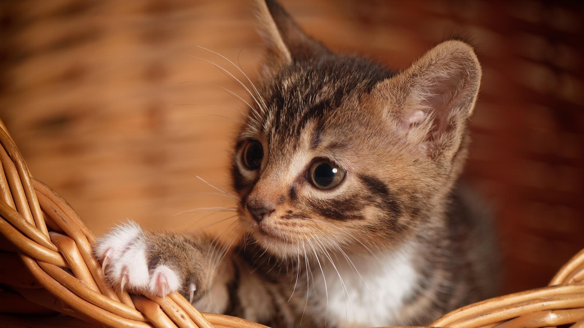动物与鸟 猫咪 可爱的小猫,爪子,篮子 壁纸  下载 1920x1080 全高清