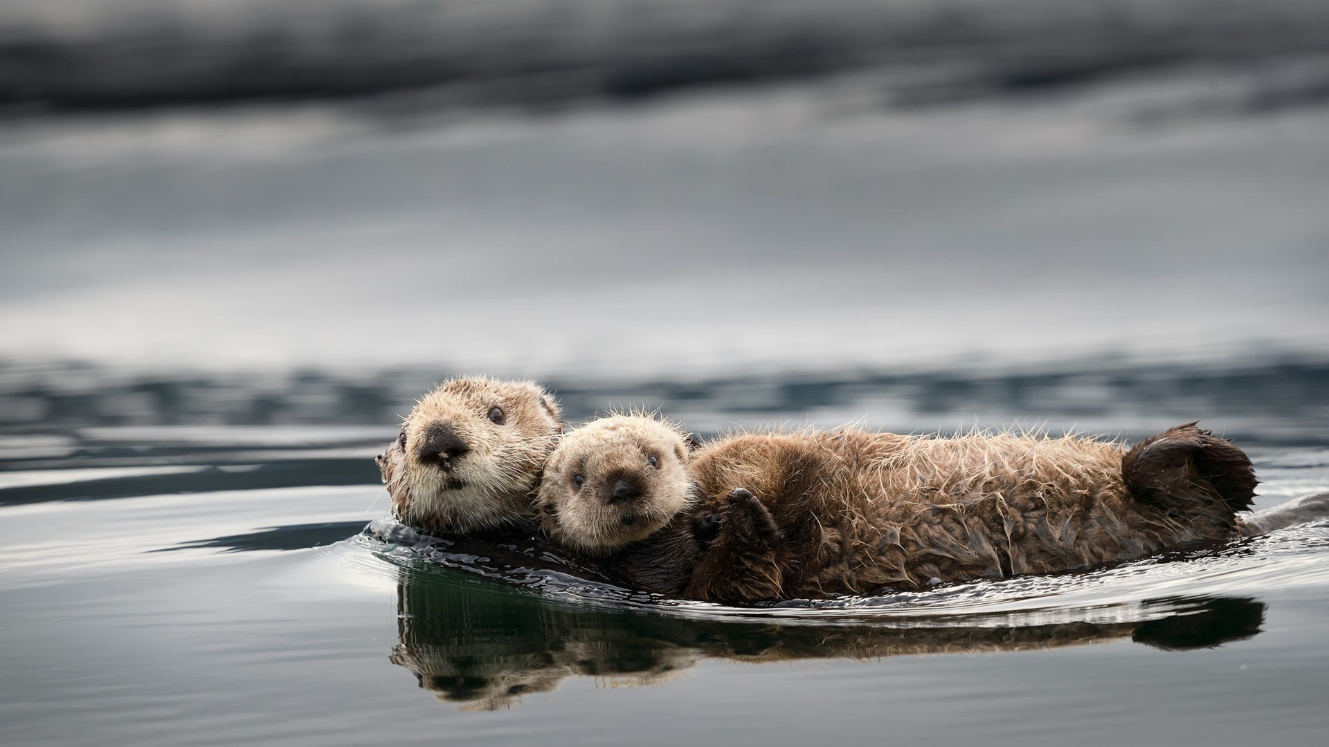 Wallpaper Cute Otters Water 1920x1080 Full Hd 2k Picture Image