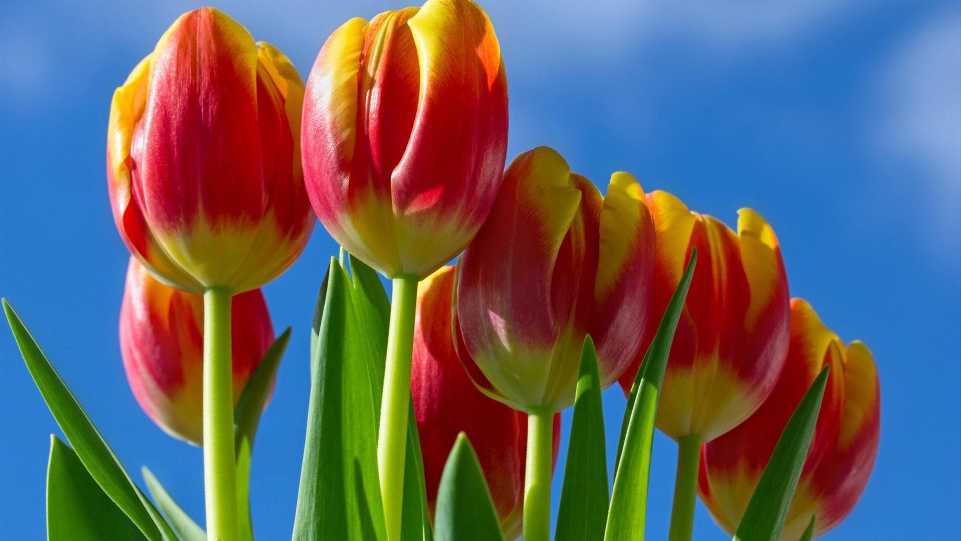 Fondos De Pantalla 1440x900 Tulipas Pascua Fondo De Color: Fondos De Pantalla Flores De Tulipanes Pétalos De Color