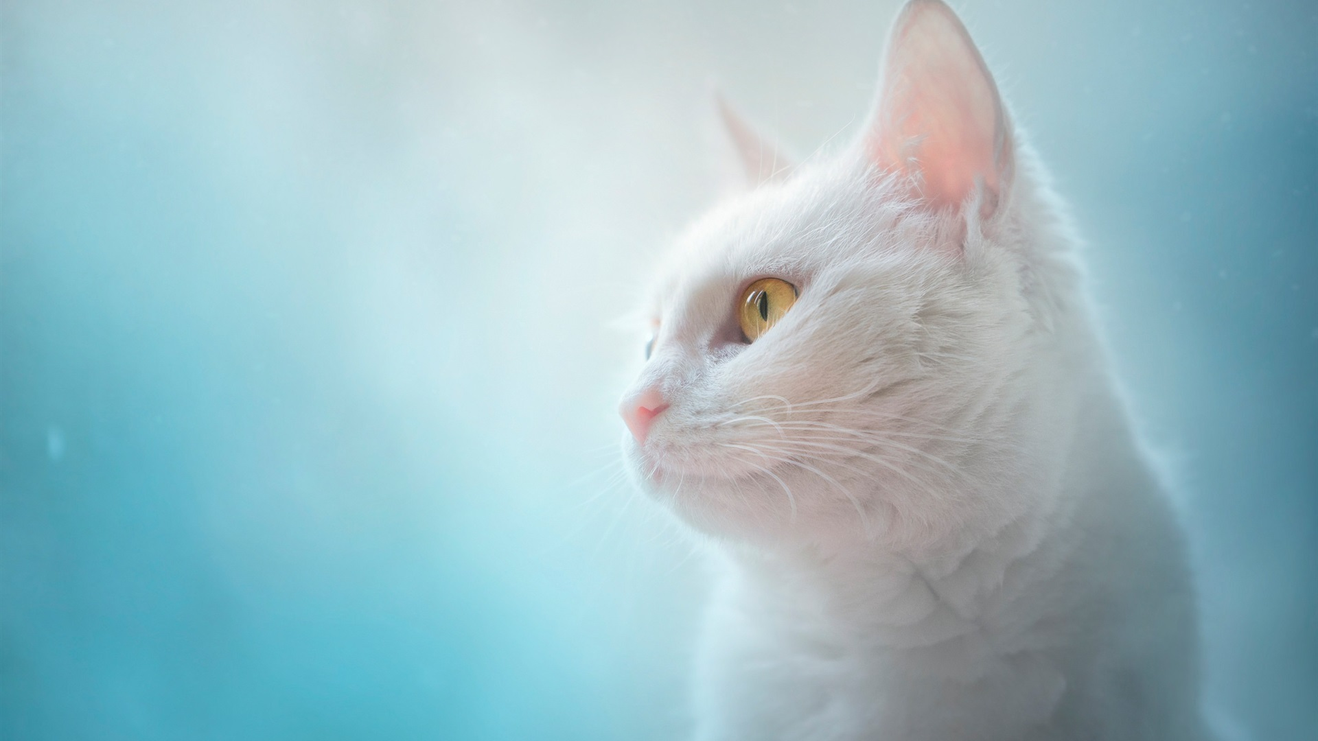 Wallpaper White cat, yellow eyes, blue background ... White Kitten With Blue And Green Eyes